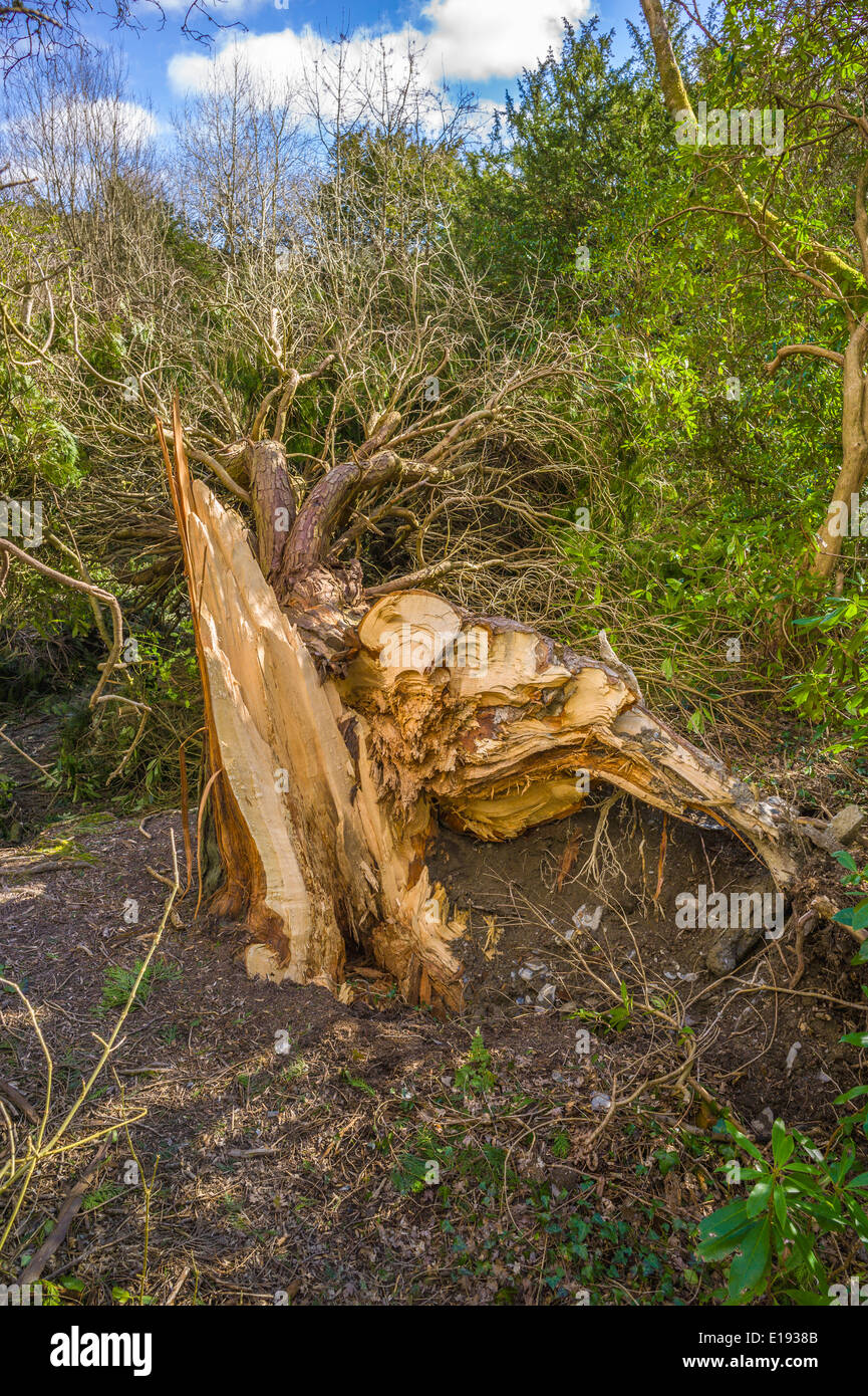 A  mature conifer tree in a small wood is snapped off at ground level by gale force winds exposing the trunk interior - Stock Image