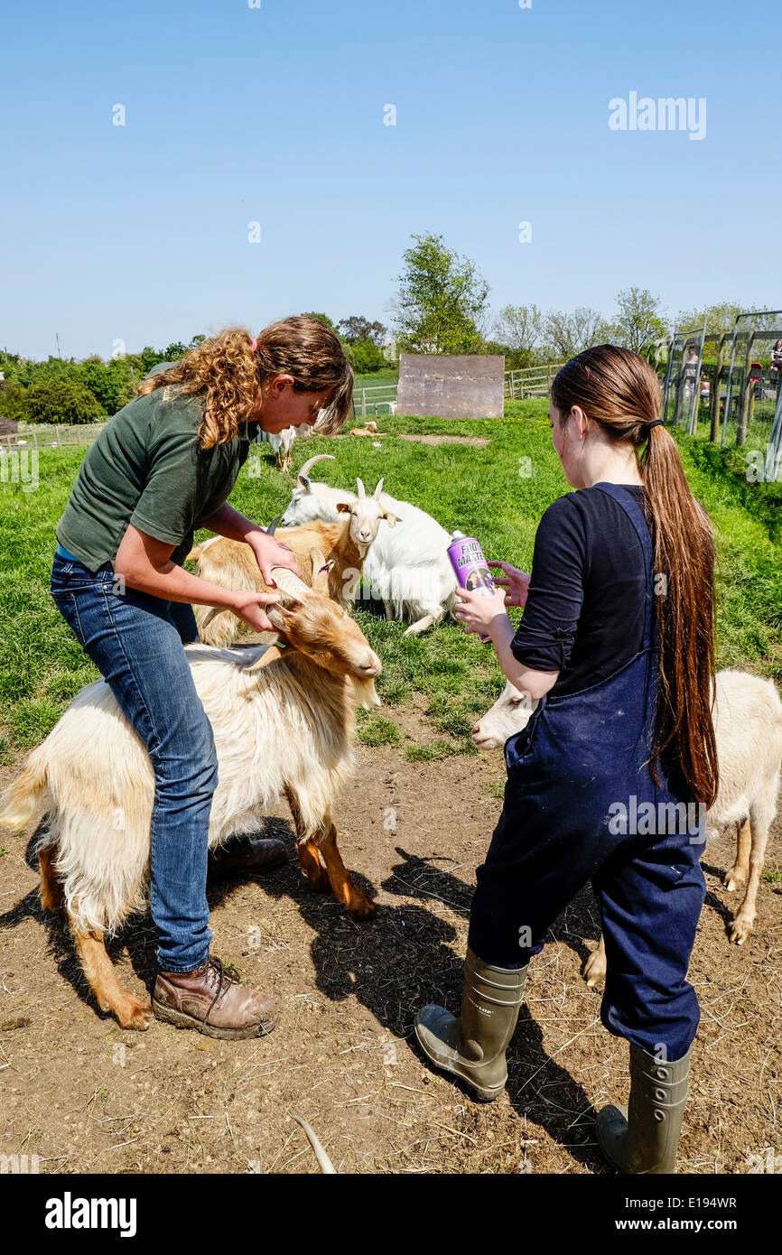Staff at the Hadleigh Children Farm treating a Golden Guernsey Goat. - Stock Image