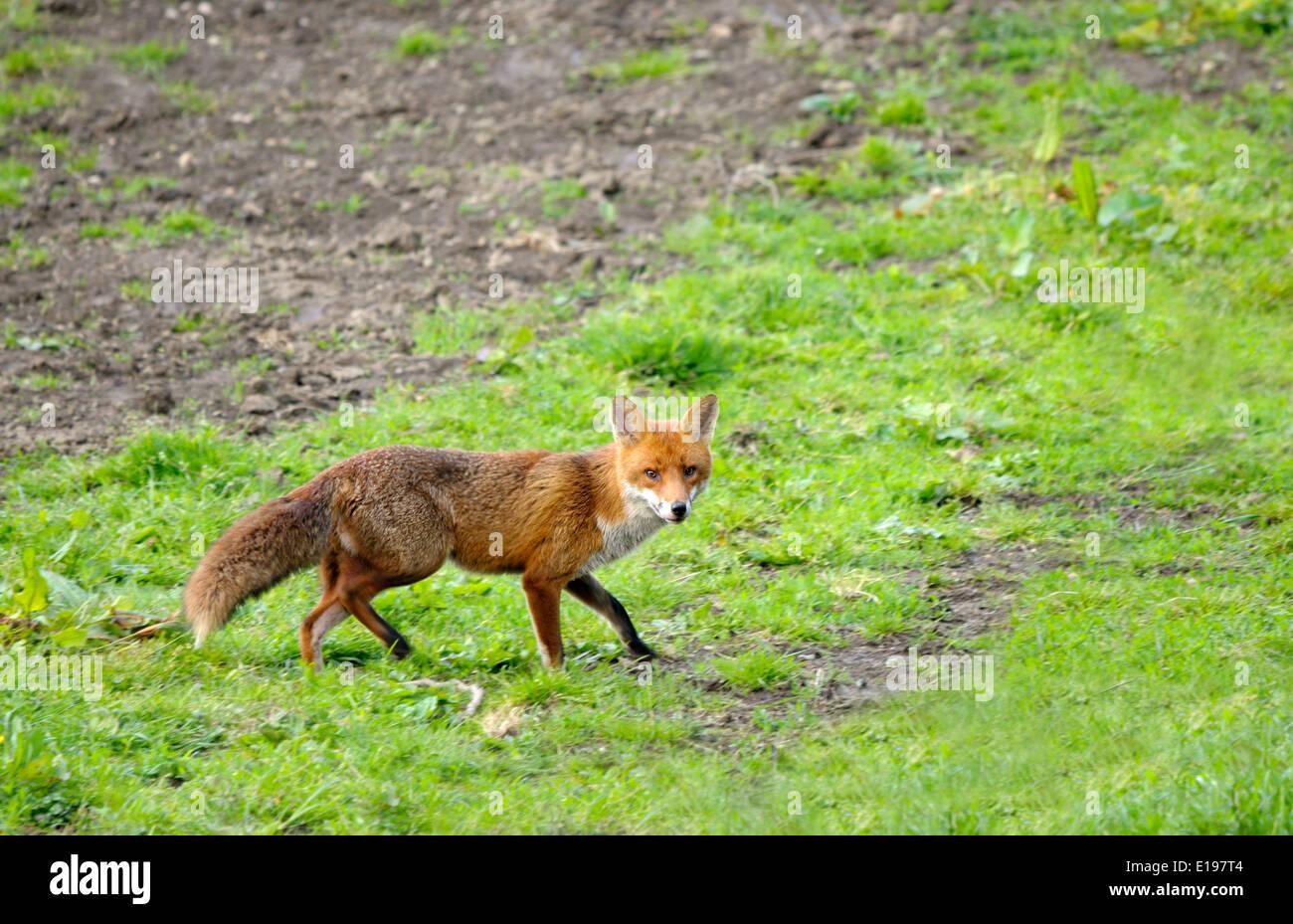 Europen Red Fox (Vulpes vulpes) - Stock Image