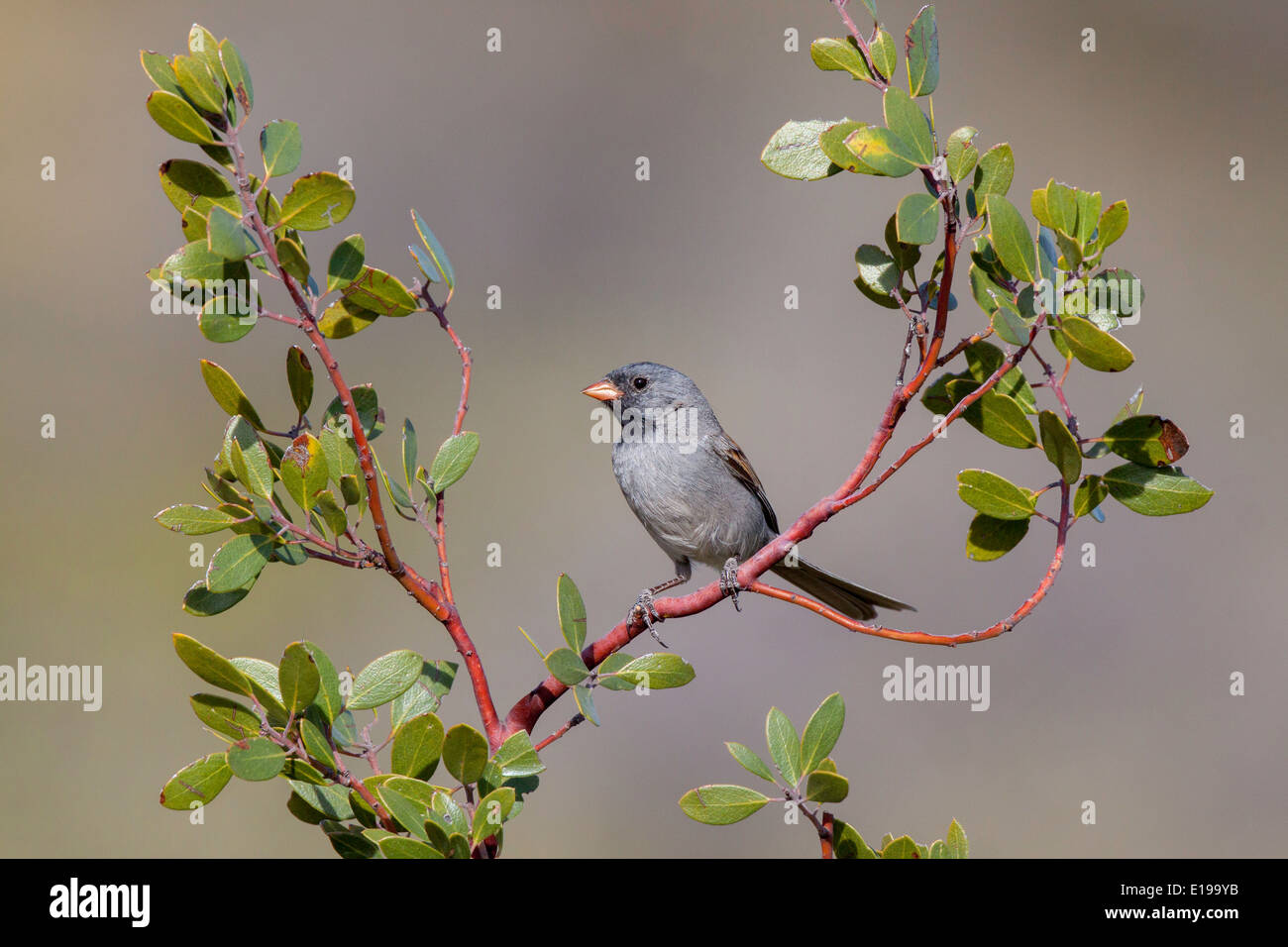 Black-chinned Sparrow Spizella atrogularis Santa Catalina Mountains, Pinal County, Arizona, United States 17 May Adult Male - Stock Image