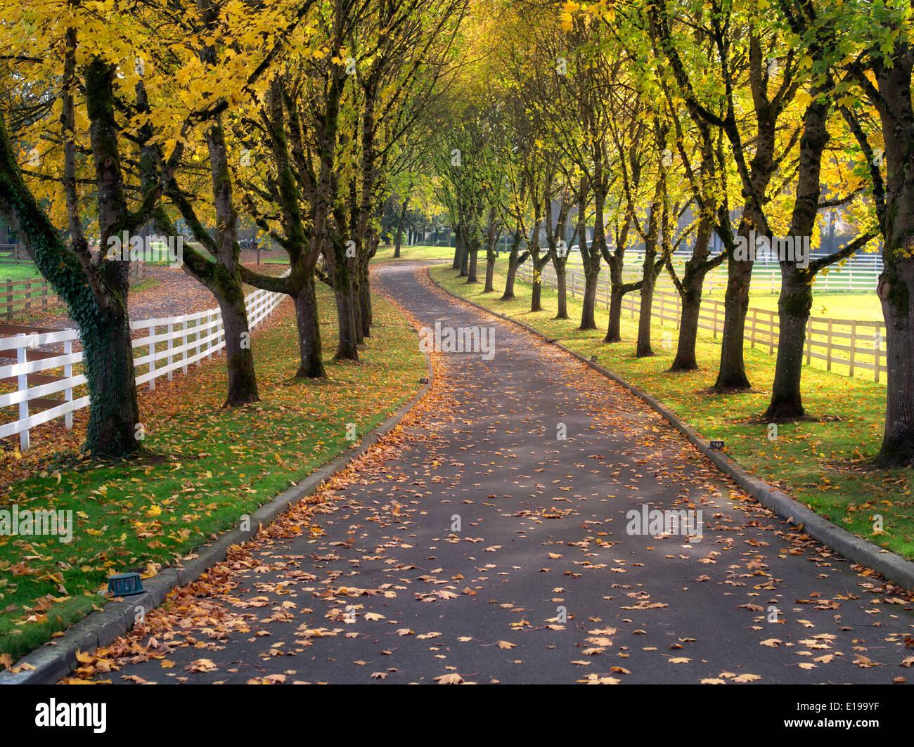 Tree lined road and fence with maple trees in fall color. Oregon - Stock Image