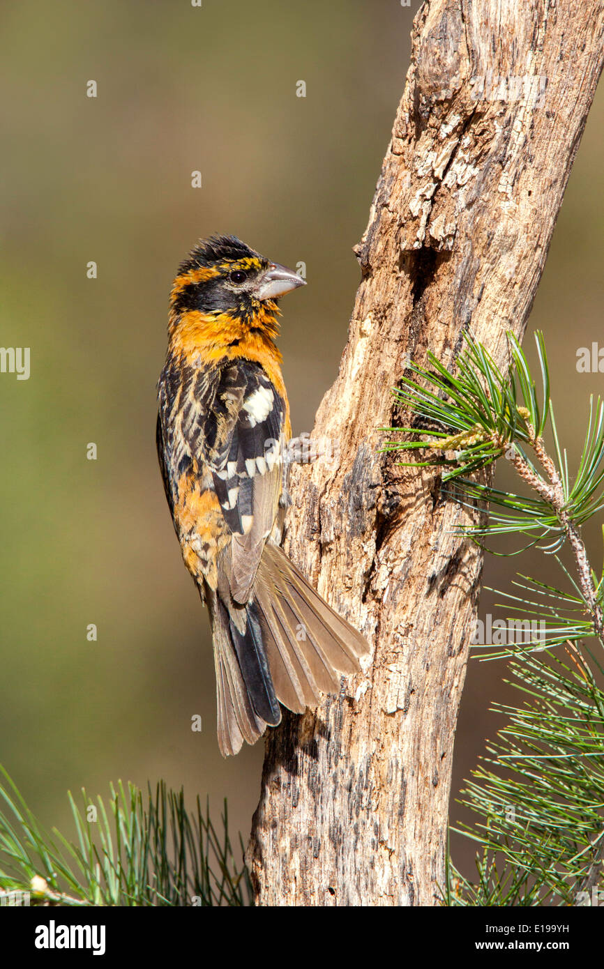 Black-headed Grosbeak Pheucticus melanocephalus Santa Rita Mountains, Santa Cruz County, Arizona, United States 16 May - Stock Image