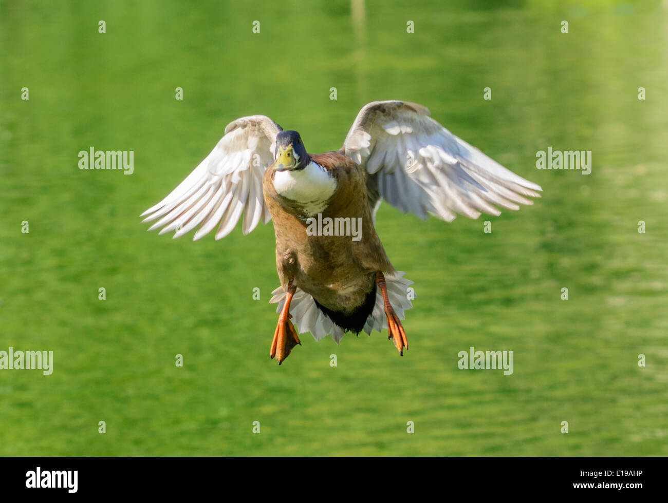 Drake brown duck, probably a Mallard hybrid, flying low towards the camera in Spring in the UK. - Stock Image