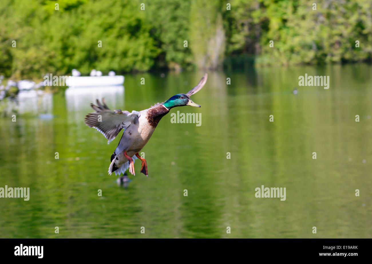 Drake Mallard duck (Anas platyrhynchos) flying over a lake in Spring in West Sussex, England, UK. - Stock Image