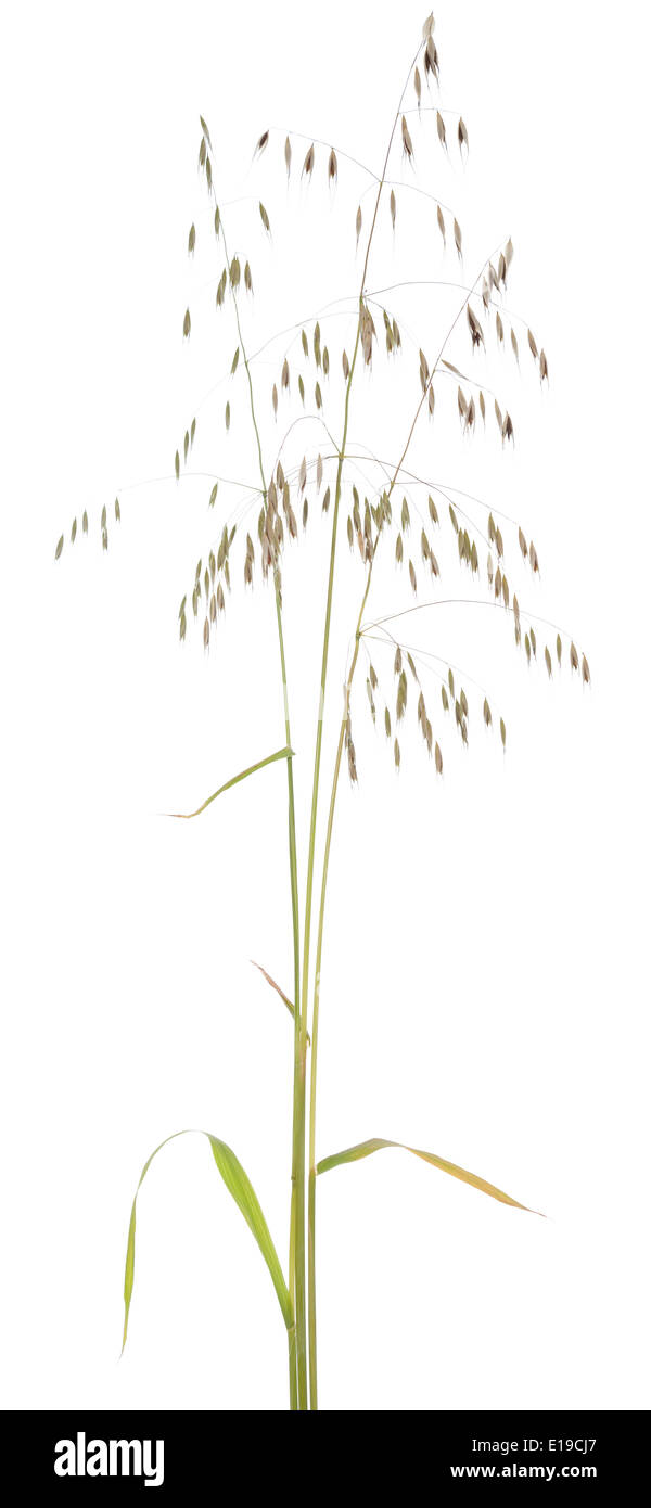 single plant oat (Avena fatua) on white background Stock Photo
