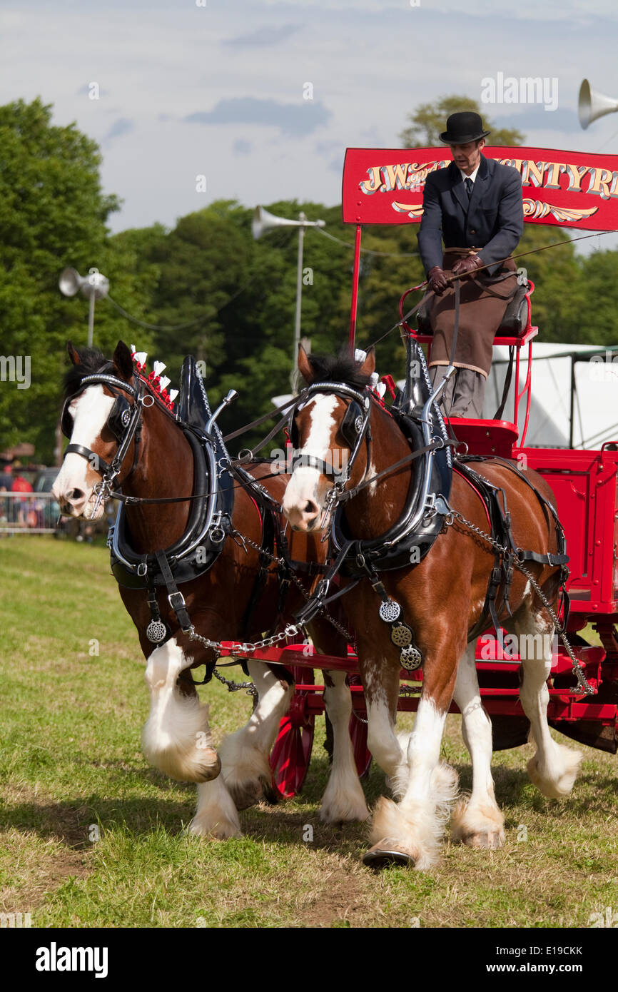 Stocksfield, England - May 26, 2014: An entrant in the pairs section of the Heavy Horses Turnout displaying in the main arena at the Northumberland County Agricultural Show at Bywell Hall, near Stocksfield, in North east England. Agriculture is an important part of the economy in the region and such events shows draw large numbers of visitors. - Stock Image