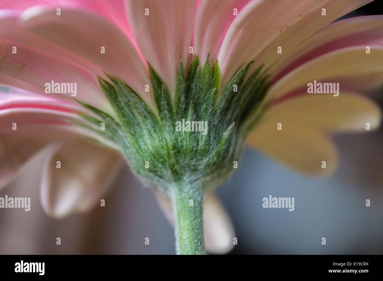 Underside Daisy Flower Stock Photos Underside Daisy Flower Stock