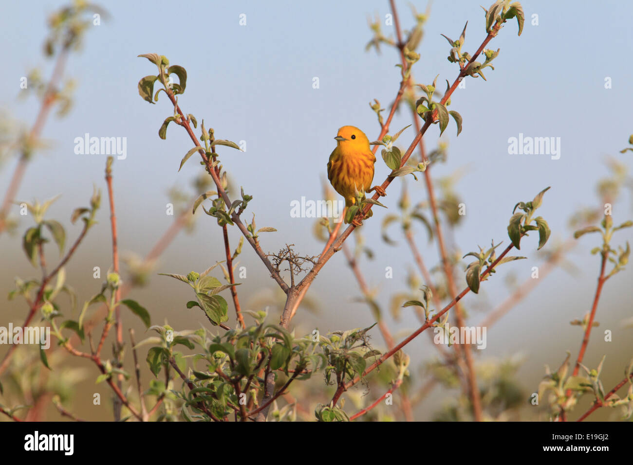 Male Yellow warbler (Setophaga petechia) on tree branch during the Spring migration, Magee Marsh, Ohio. - Stock Image