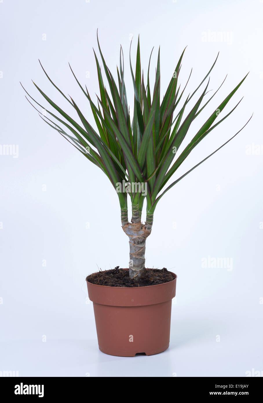 Drachenbaum Dracaena Marginata Stock Photo 69668115 Alamy