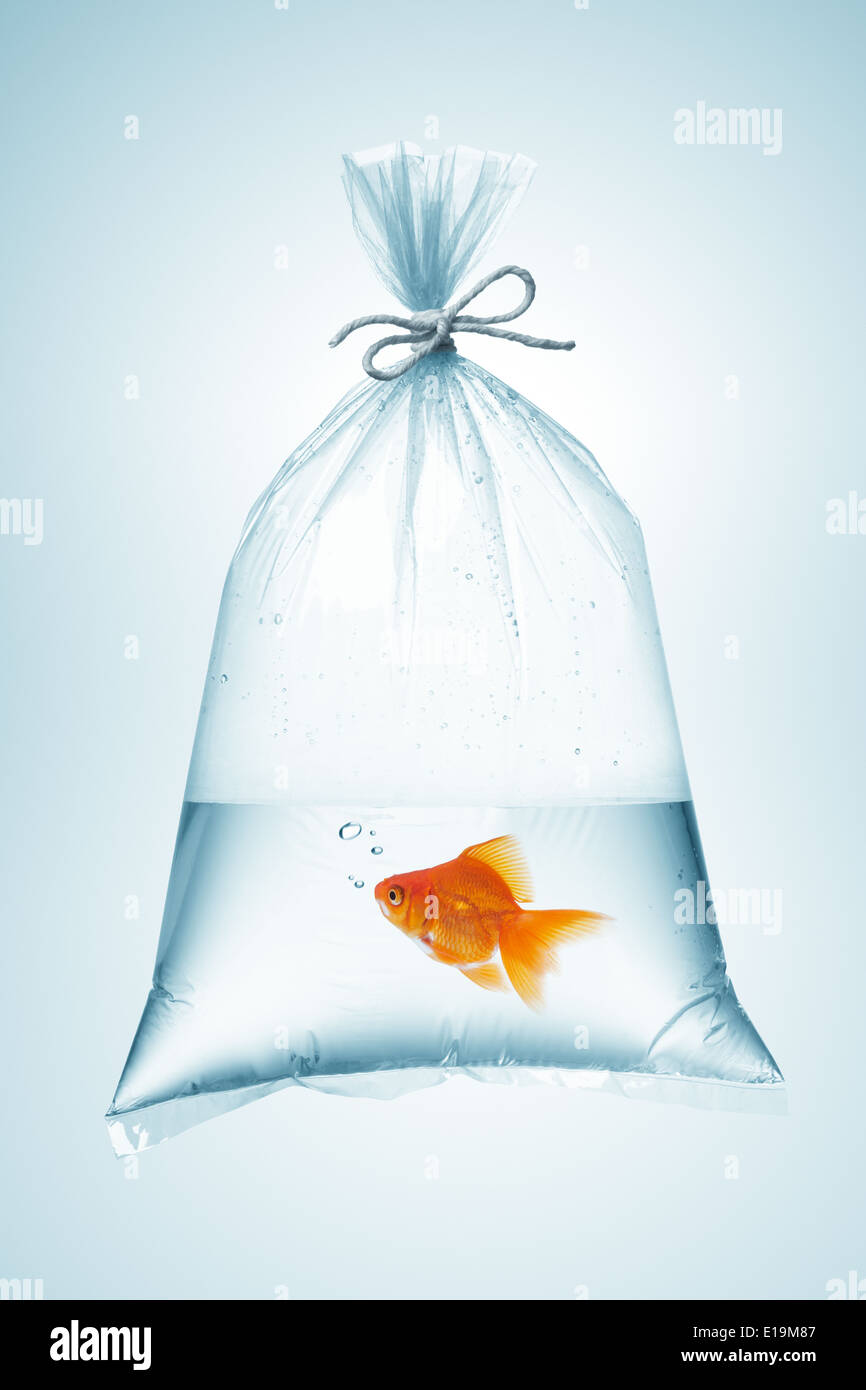 goldfish in plastic bag, tied with rope - Stock Image