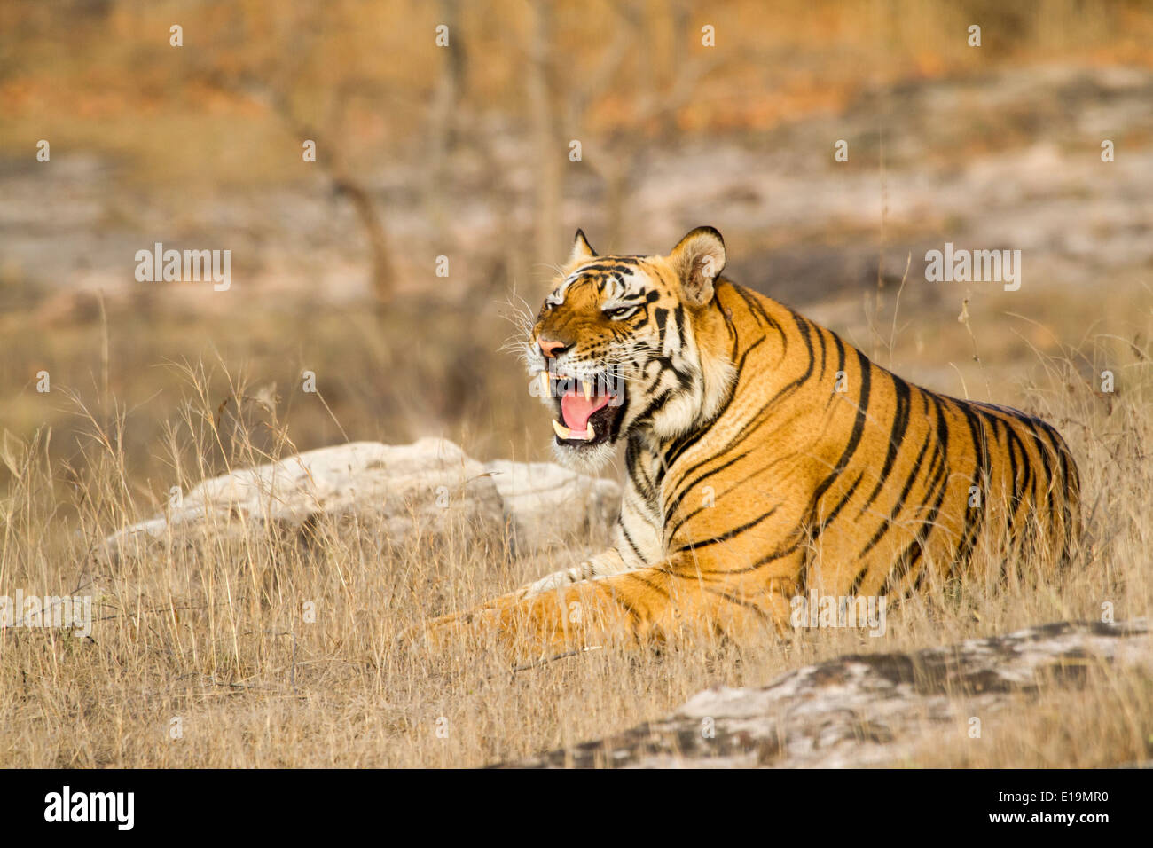 male tiger laying down and looking into the distance, snarling, Bandhavgarh National Park, Madhya Pradesh, India, Asia - Stock Image