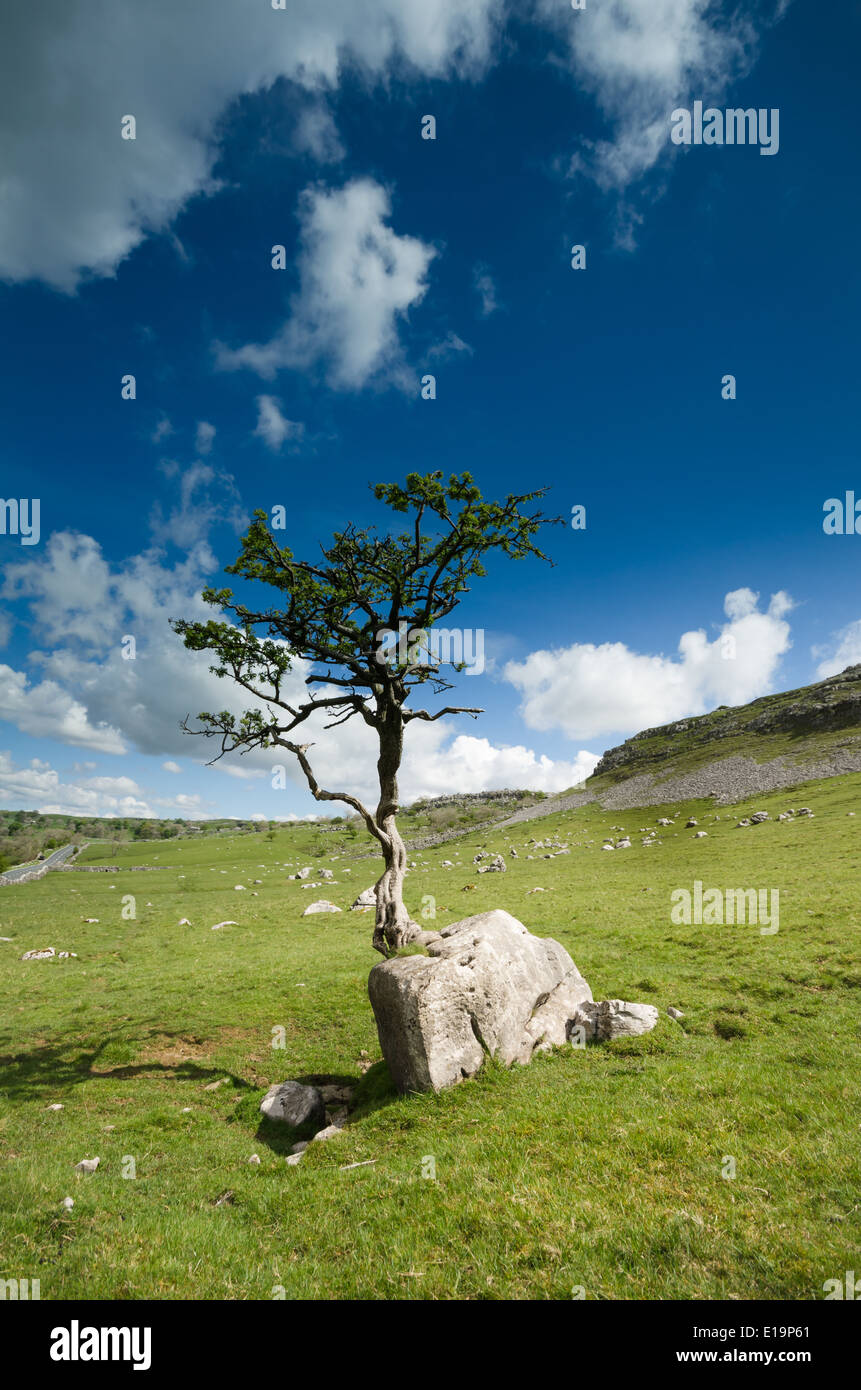 A Hawthorn tree growing on a rock - Stock Image