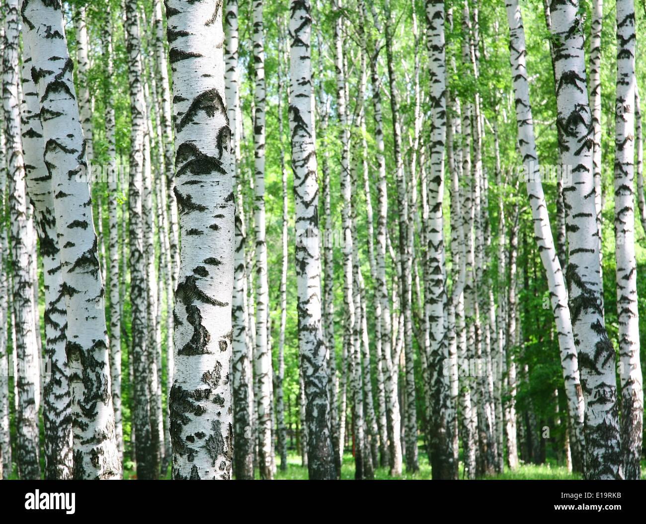 Trunks of birch trees in spring - Stock Image