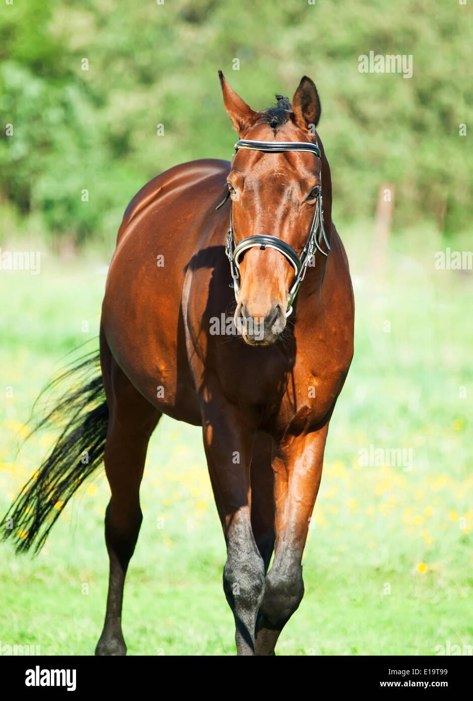 bay sportive horse - Stock Image