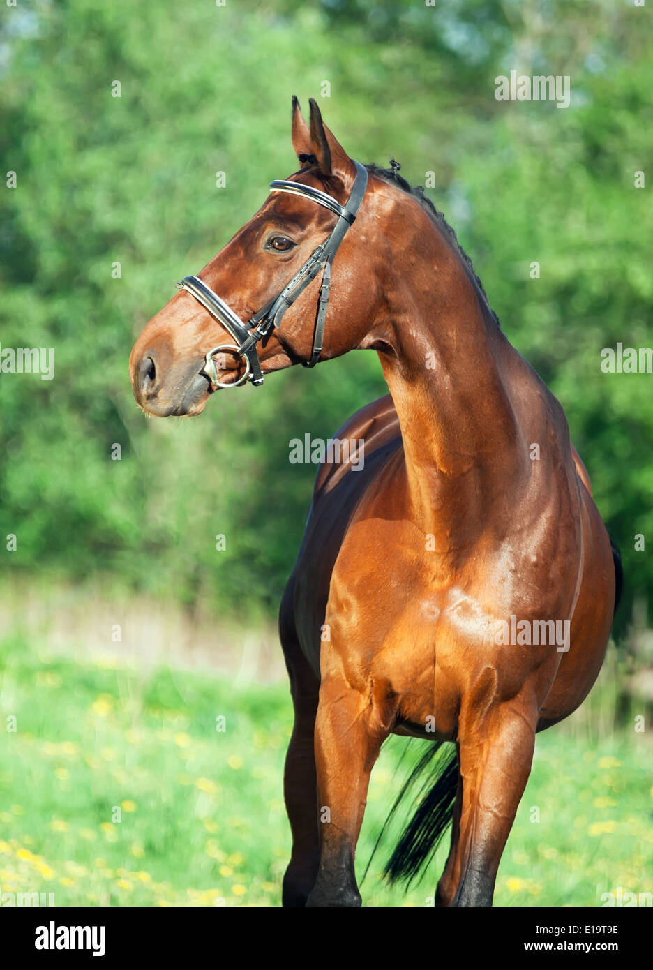 portrait of bay sportive horse - Stock Image