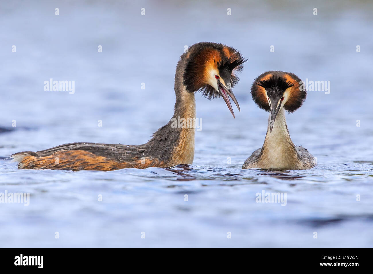 Adult male Great Crested Grebe (right) (Podiceps cristatus) displaying to female - Stock Image