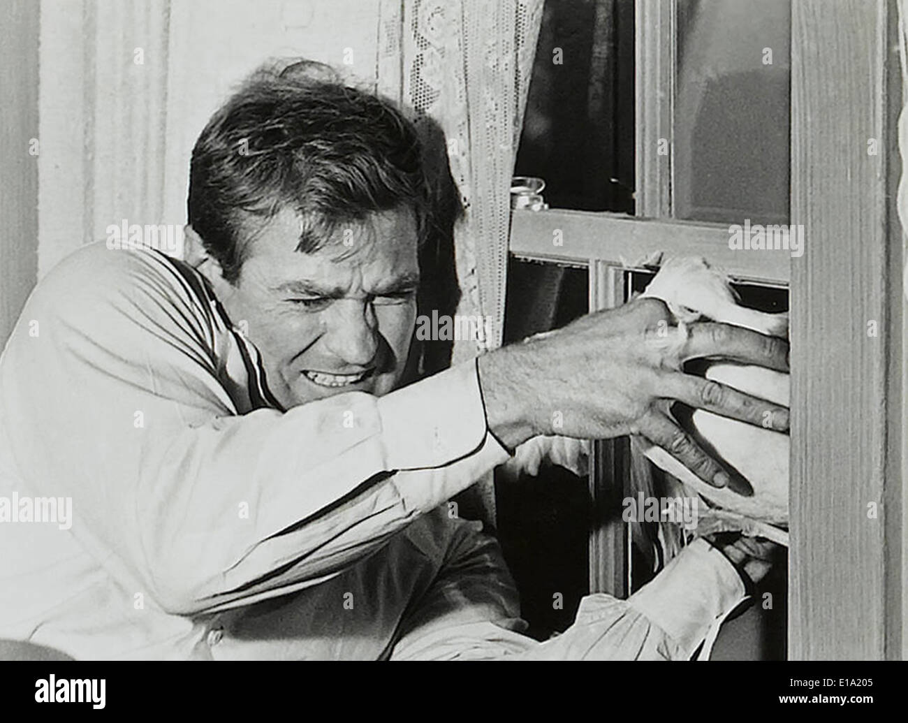 The birds - Rod Taylor,  Director : Alfred Hitchcock - Stock Image