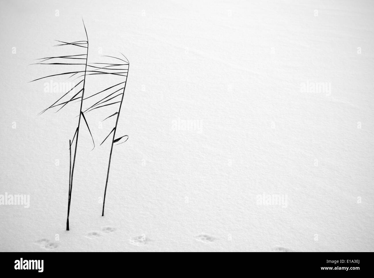 Black and white picture of the two sedge stems in snow with plenty of copy space - Stock Image
