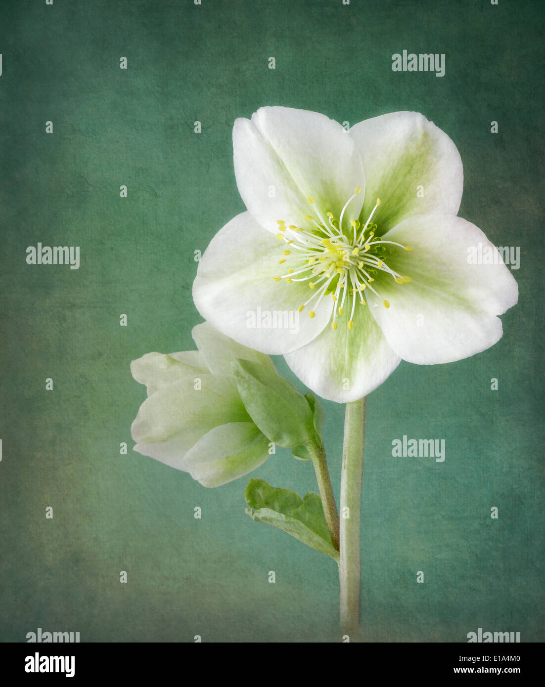 White Hellebores on textured background - Stock Image