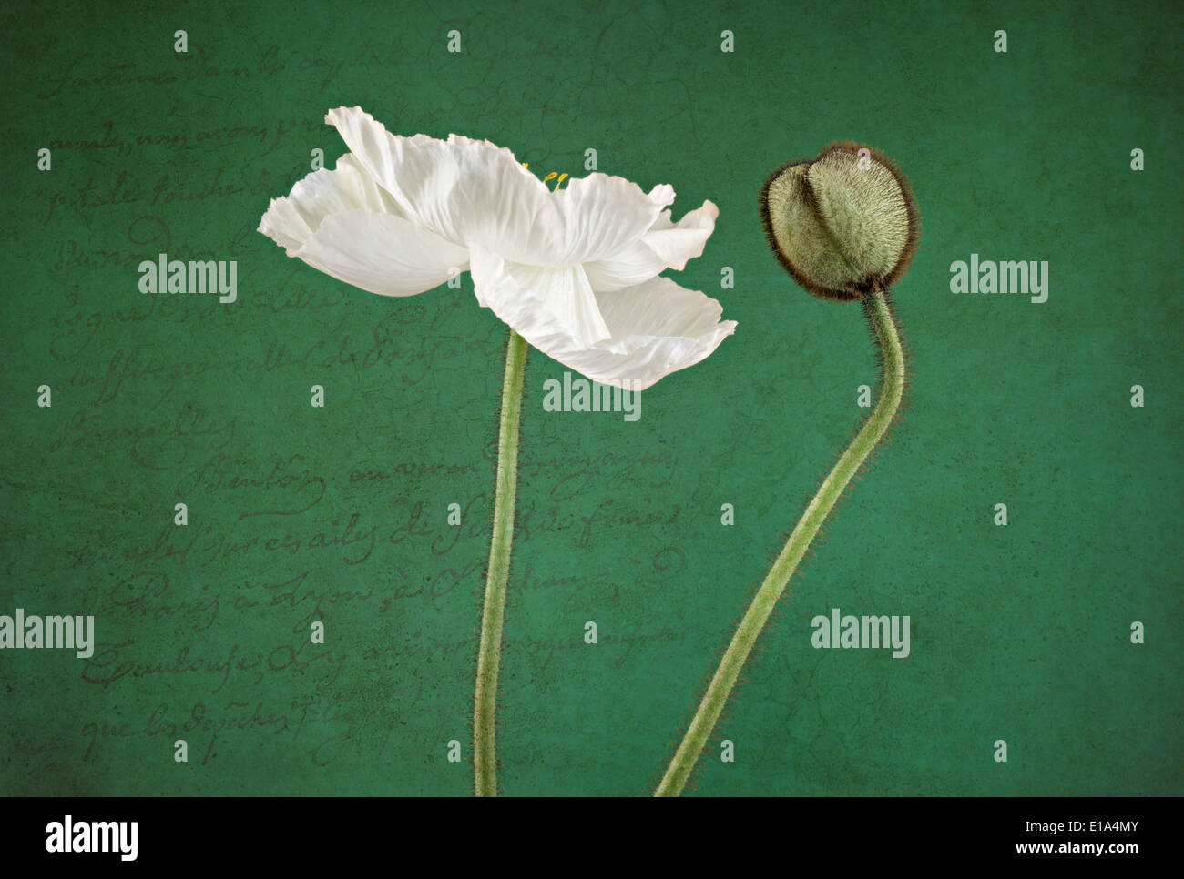 White Poppy and Bud on textured scripted background - Stock Image