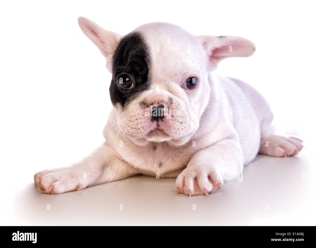 Cool Bulldog Black Adorable Dog - adorable-black-and-white-french-bulldog-puppy-with-patch-on-eye-isolated-E1A6BJ  HD_964115  .jpg