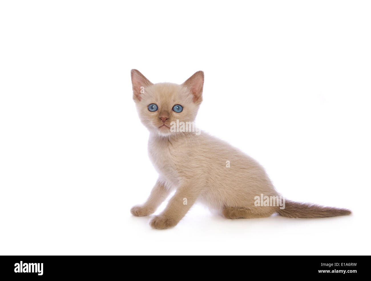 Cute chocolate point non standard Munchkin kitten isolated on white background - Stock Image