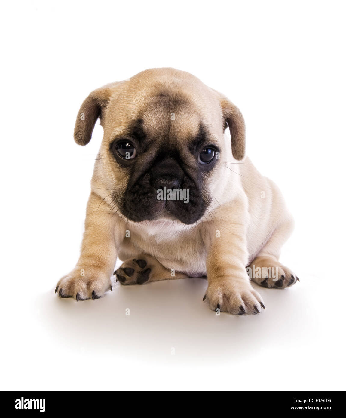 Fawn French Bulldog High Resolution Stock Photography And Images Alamy