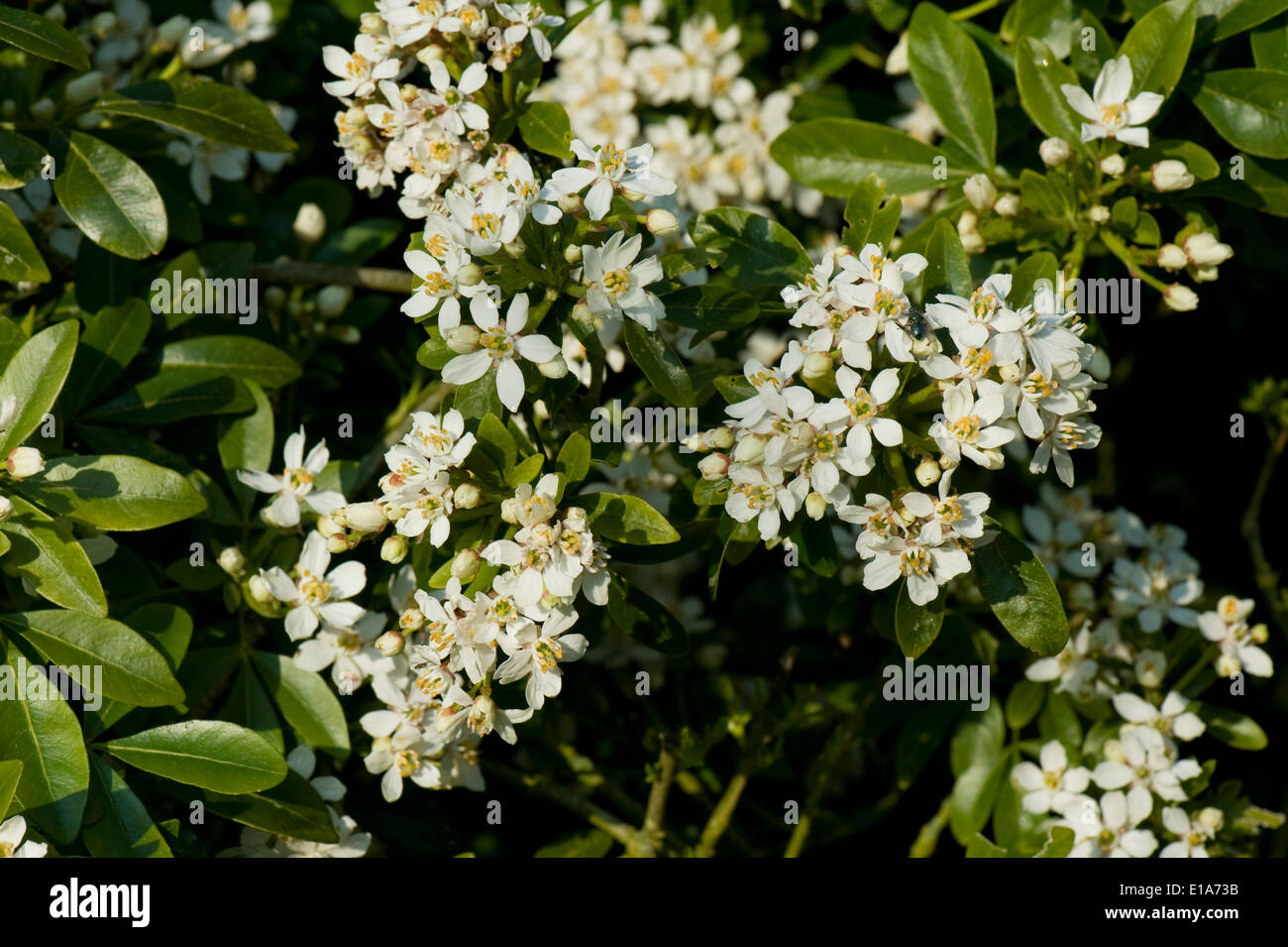 Scented white flowers stock photos scented white flowers stock mexican or mock orange choisya ternata flowering shrub with white highly scented flowers mightylinksfo