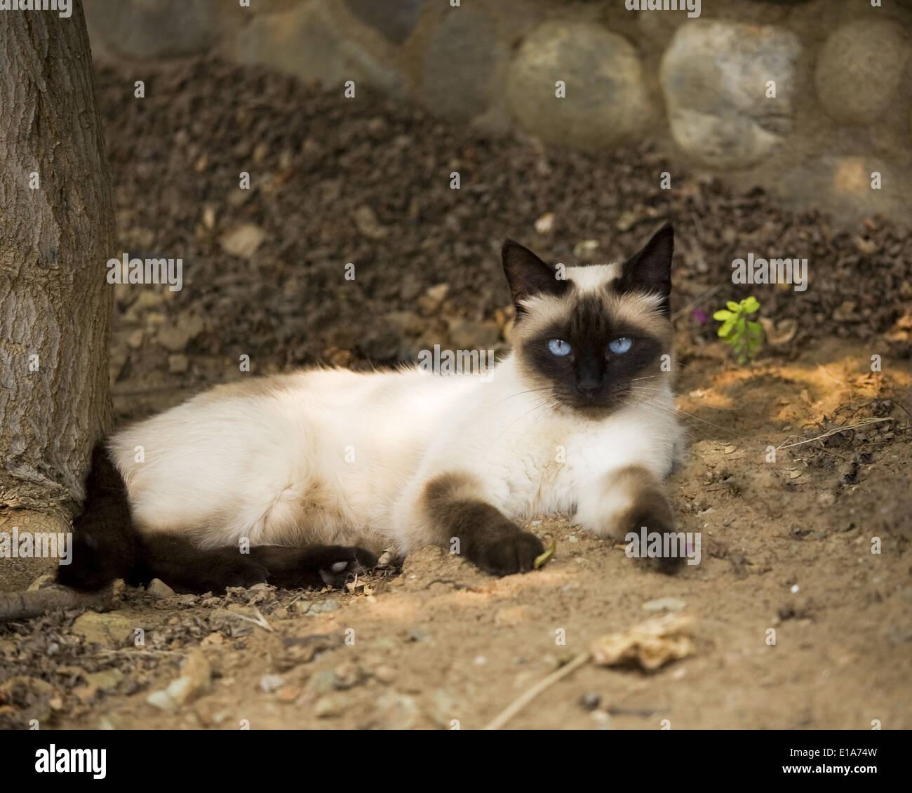 2701098e2b84 Seal Point Siamese Cat Stock Photos & Seal Point Siamese Cat Stock ...