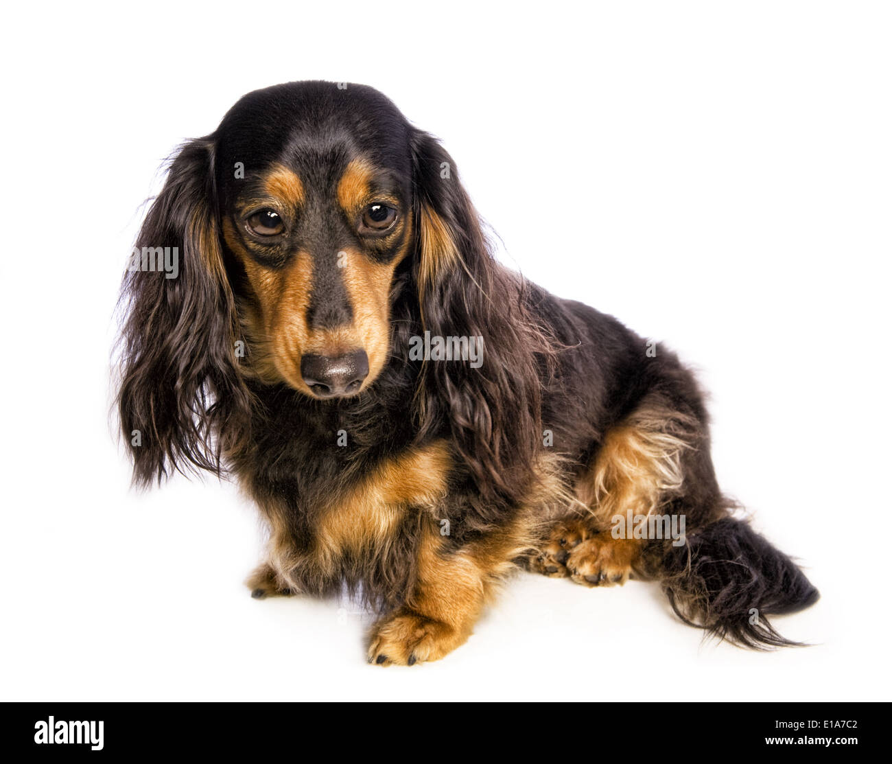 Black and tan long haired dachshund sitting to the side with sad big eyes isolated on white background - Stock Image