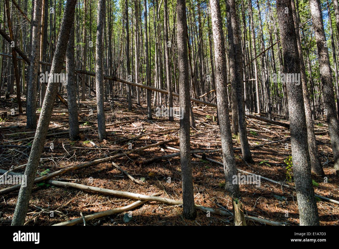 Grove of pine trees, Bear Creek, Rainbow Trail, Colorado, USA - Stock Image