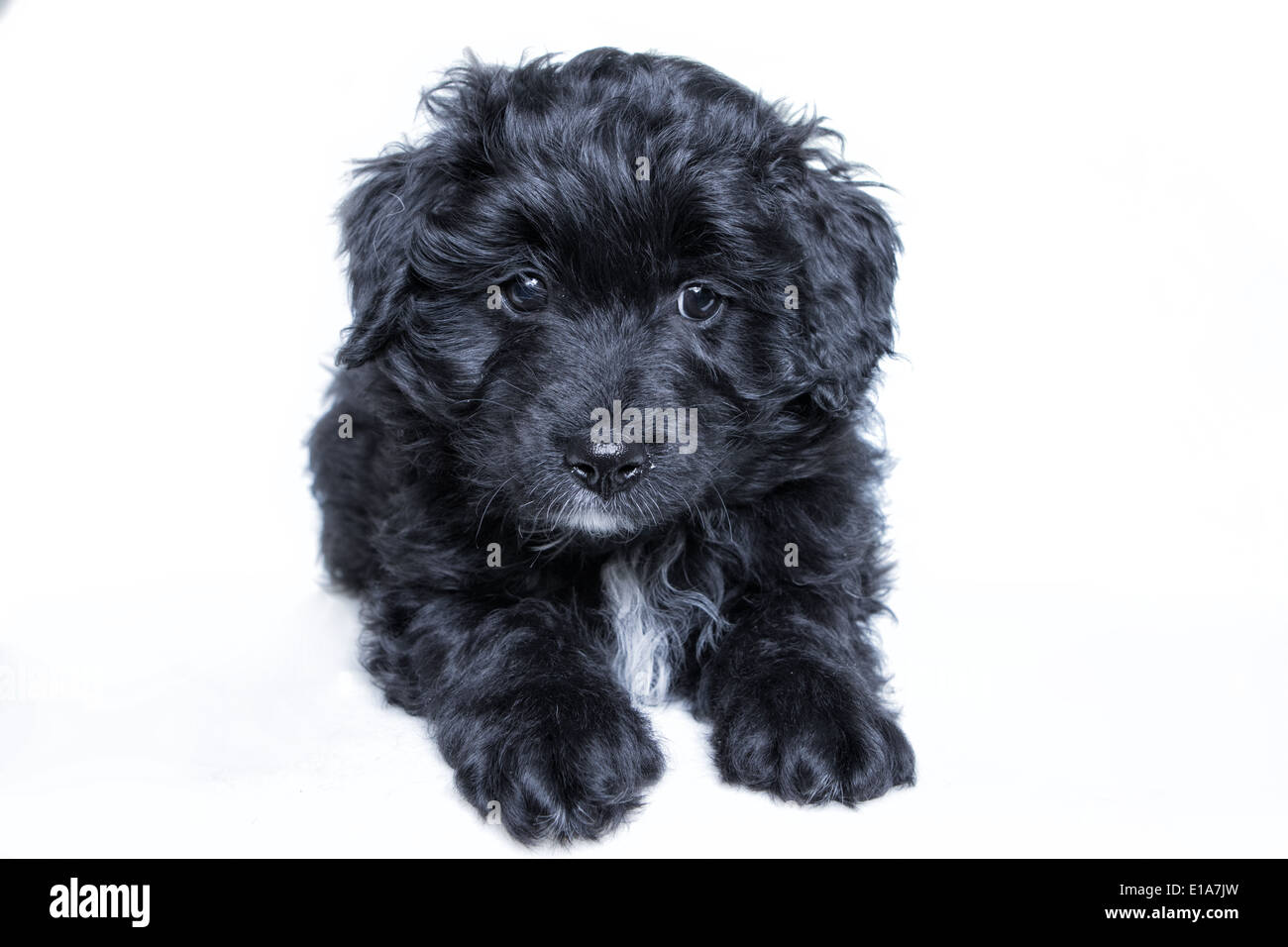 Black Aussie Doodle Puppy Lying Down On White Background