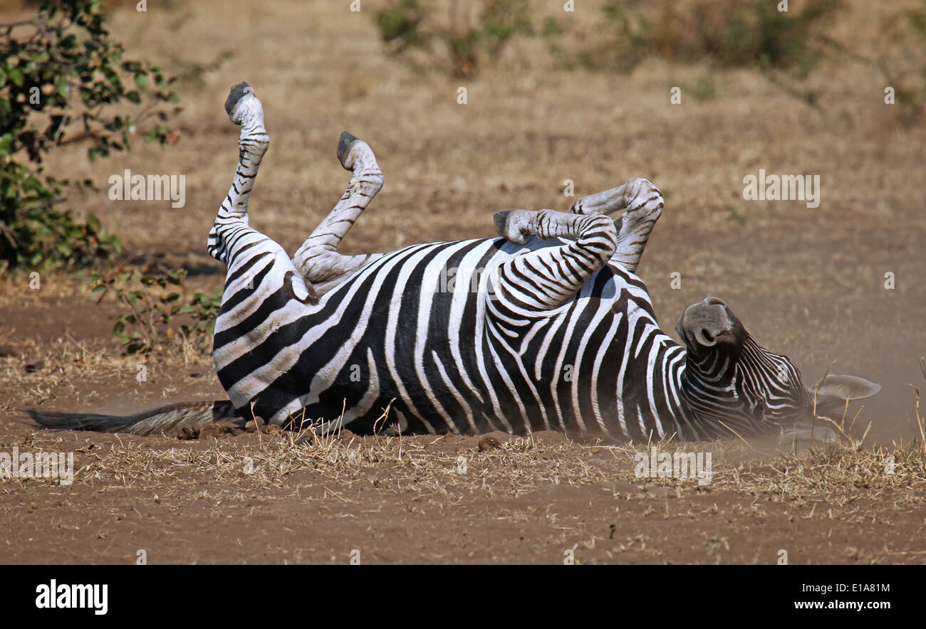 rolling Plains Zebra, Perissodactyla, Equus quagga, South Africa - Stock Image