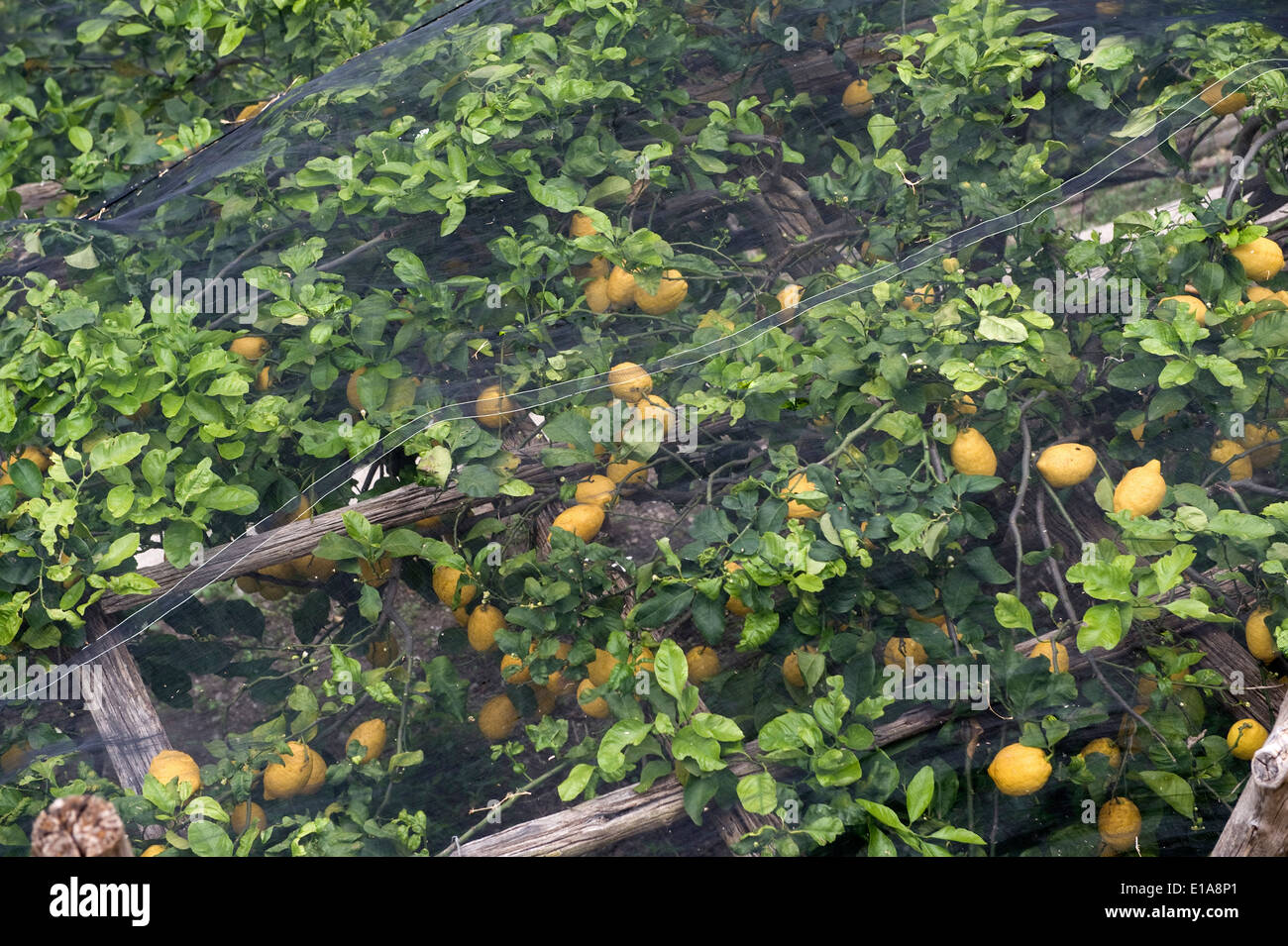 Lemon trees with fruit under shade netting to prevent sunburn on the Bay of Salerno near Amalfi in Italy. - Stock Image