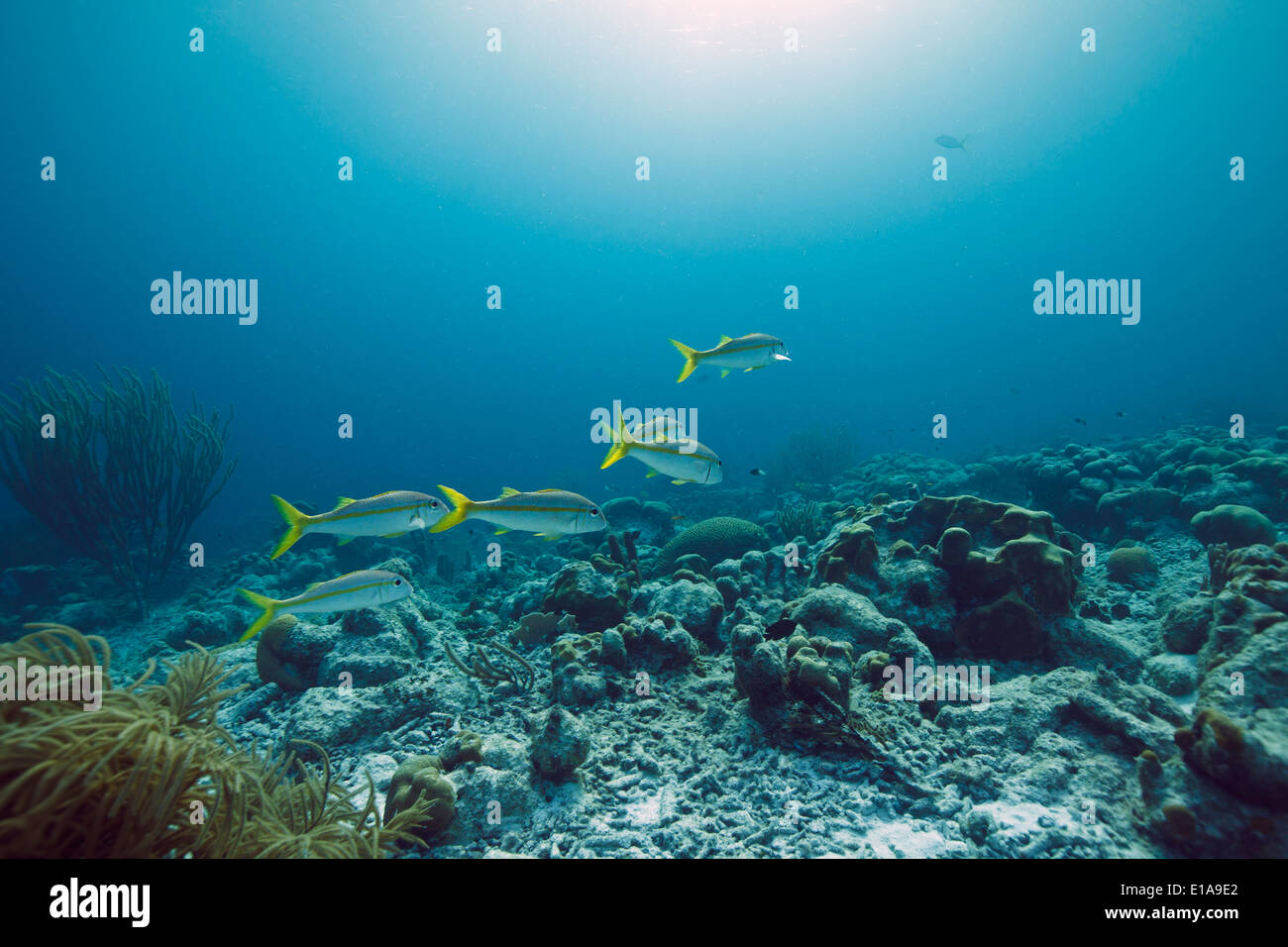 Yello goatfishes in the Caribbean sea around Bonaire. Divesite Andrea I. Grote zeeroede. - Stock Image