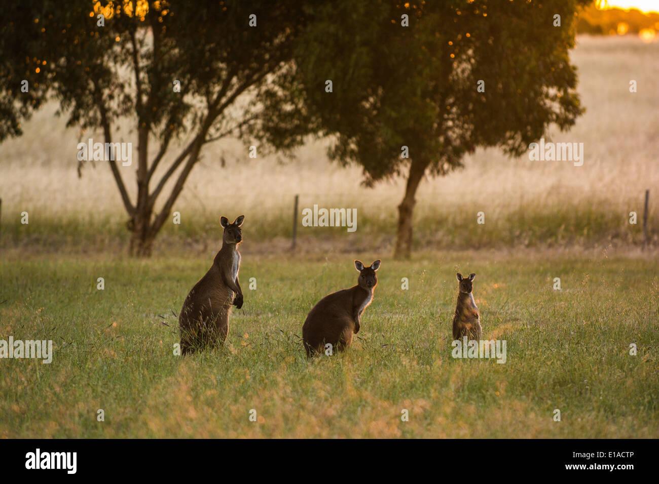 Kangaroo family, Kingscote, Kangaroo Island, South Australia Stock Photo