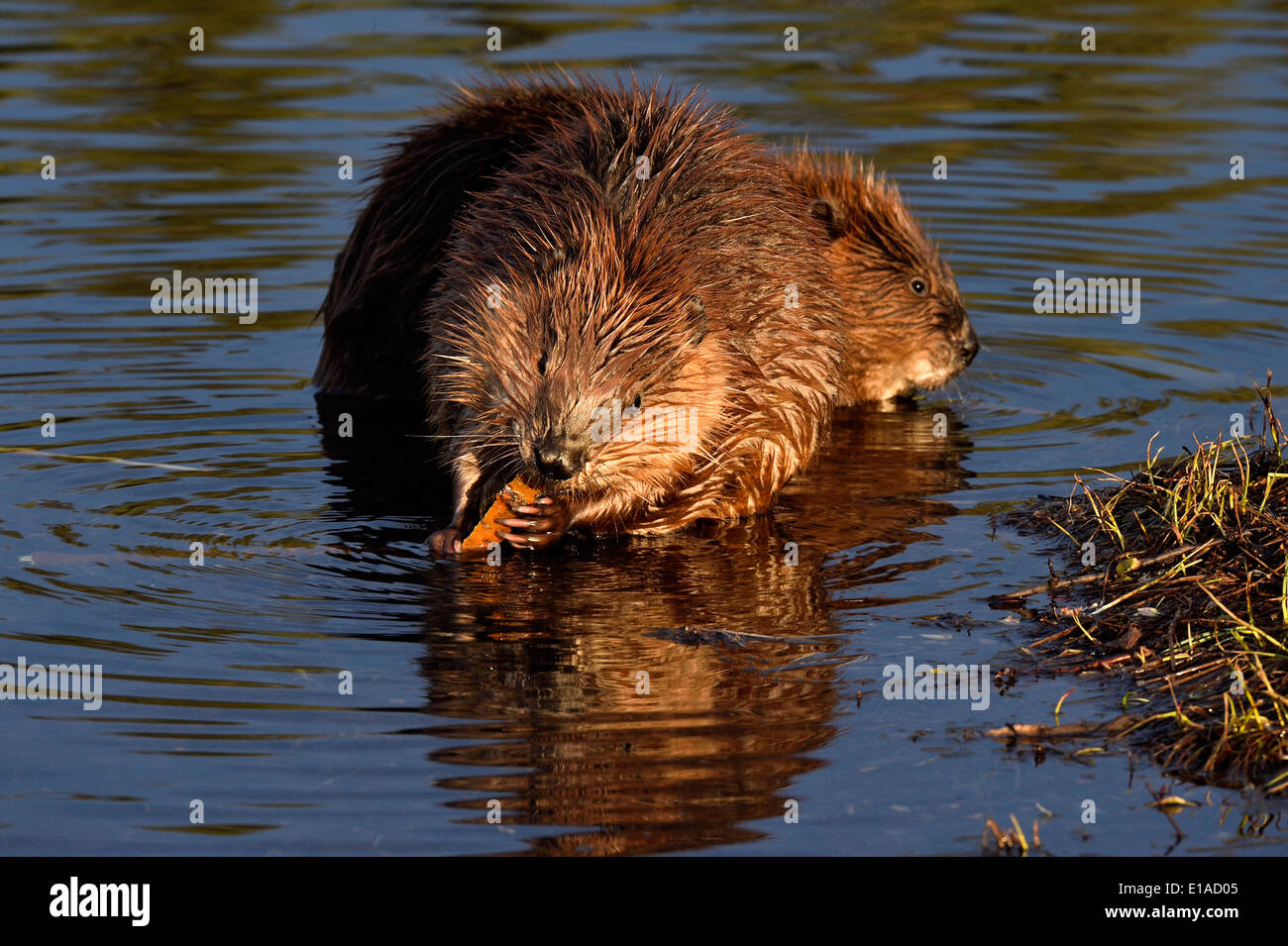 Two young beavers sitting in the water of their pond feeding on some tree branches - Stock Image
