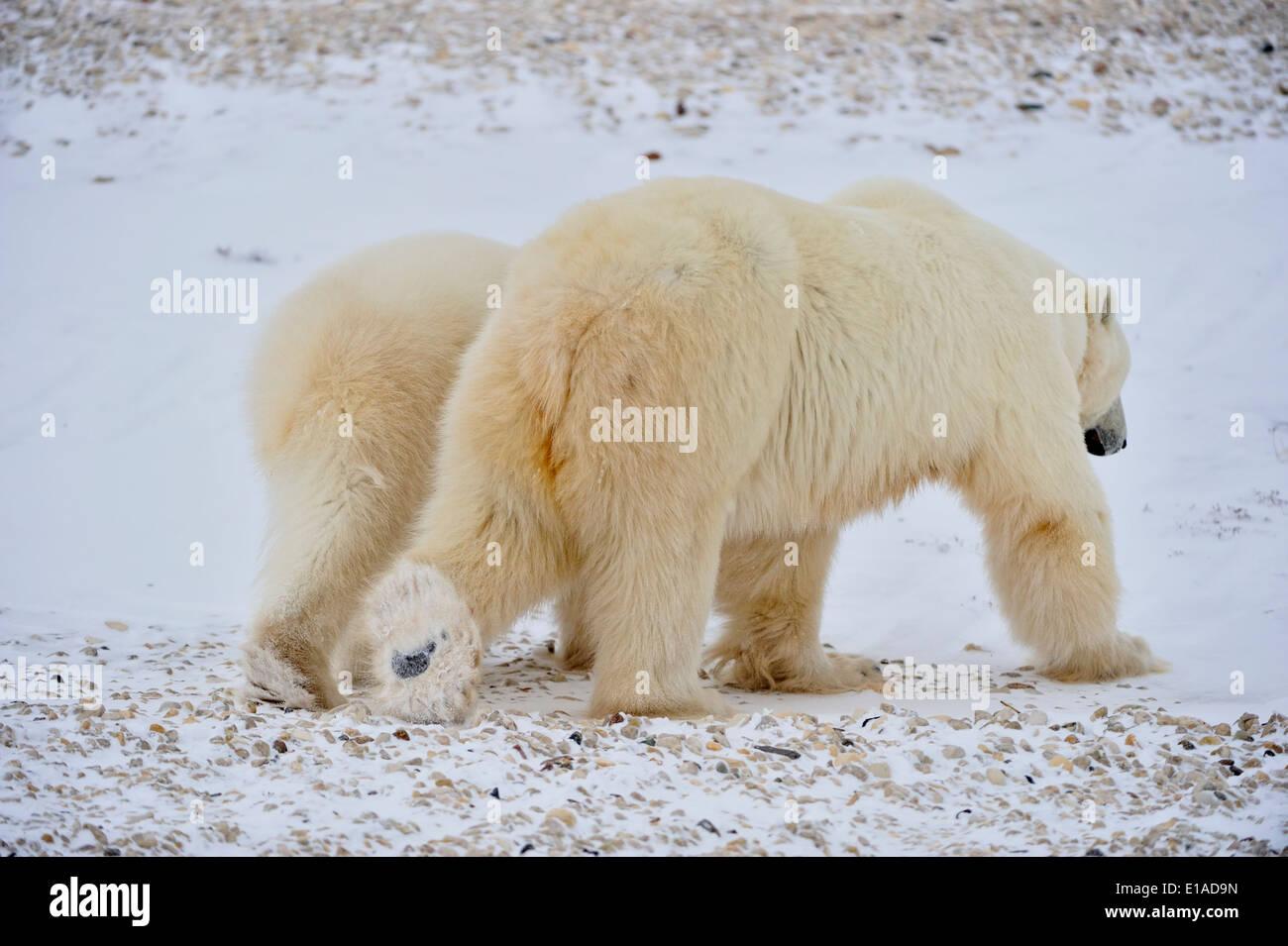 Polar Bear (Ursus maritimus) Mother with yearling second-year cub Wapusk National Park, Cape Churchill Manitoba Stock Photo