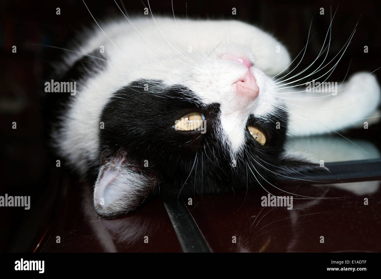 black and white cat lying on his back on the roof of the car - Stock Image