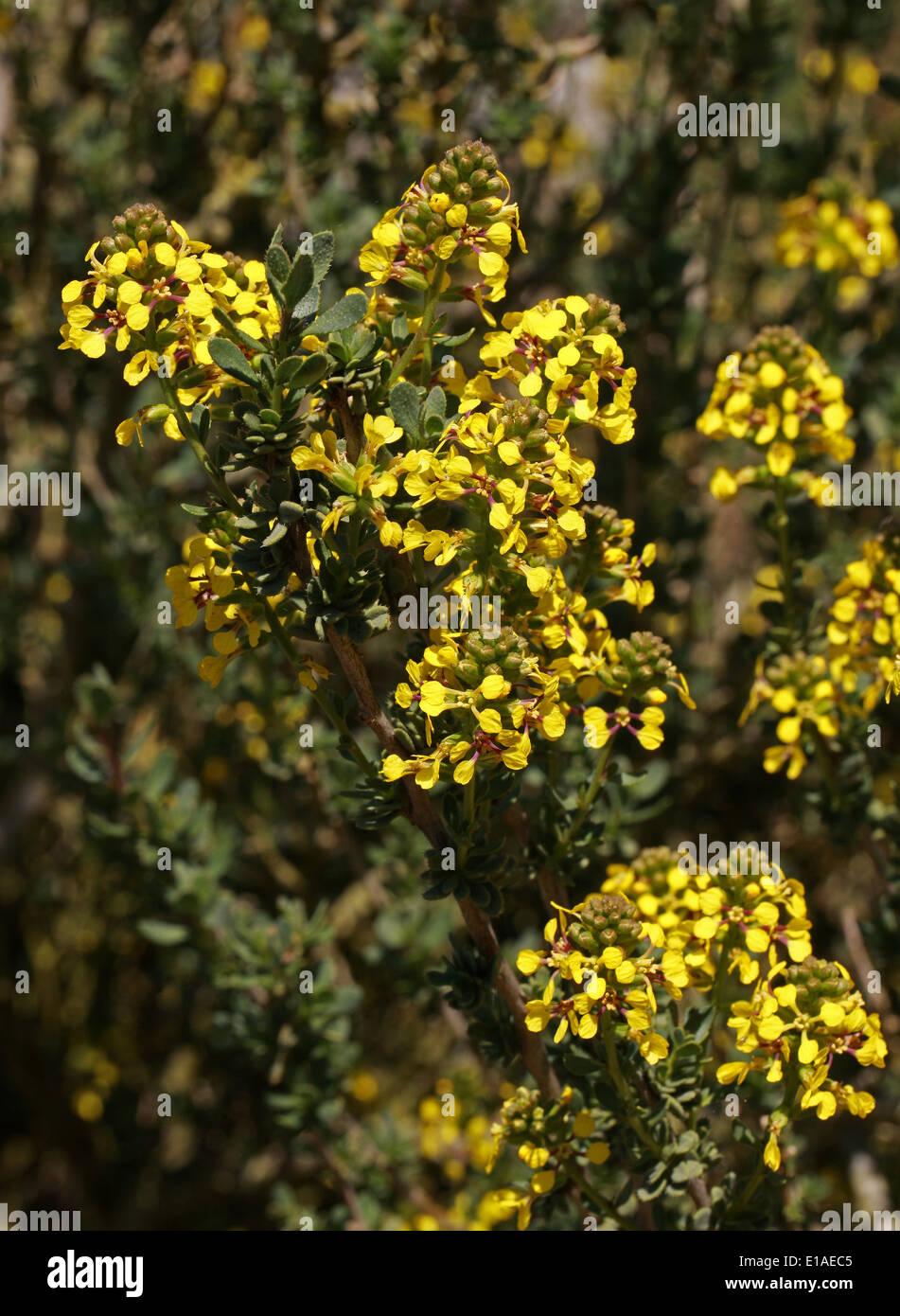 Vella pseudocytisus, Brassicaceae (Cruciferae). Vella is endemic to Algeria, Morocco, and the Iberian Peninsular. - Stock Image