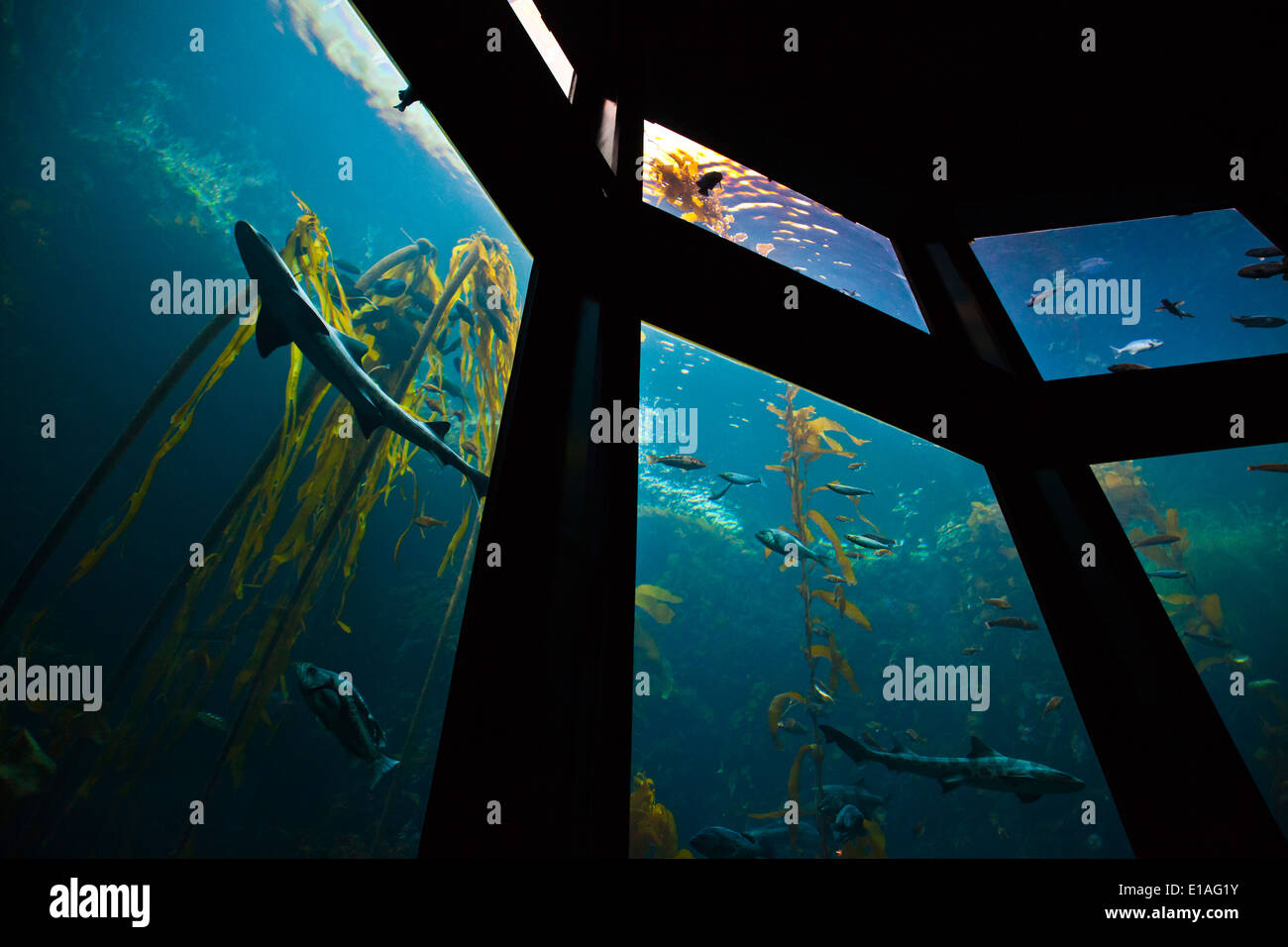 A shark and fish swim in a KELP FOREST in the second largest tank at the MONTEREY BAY AQUARIUM - MONTEREY, CALIFORNIA - Stock Image