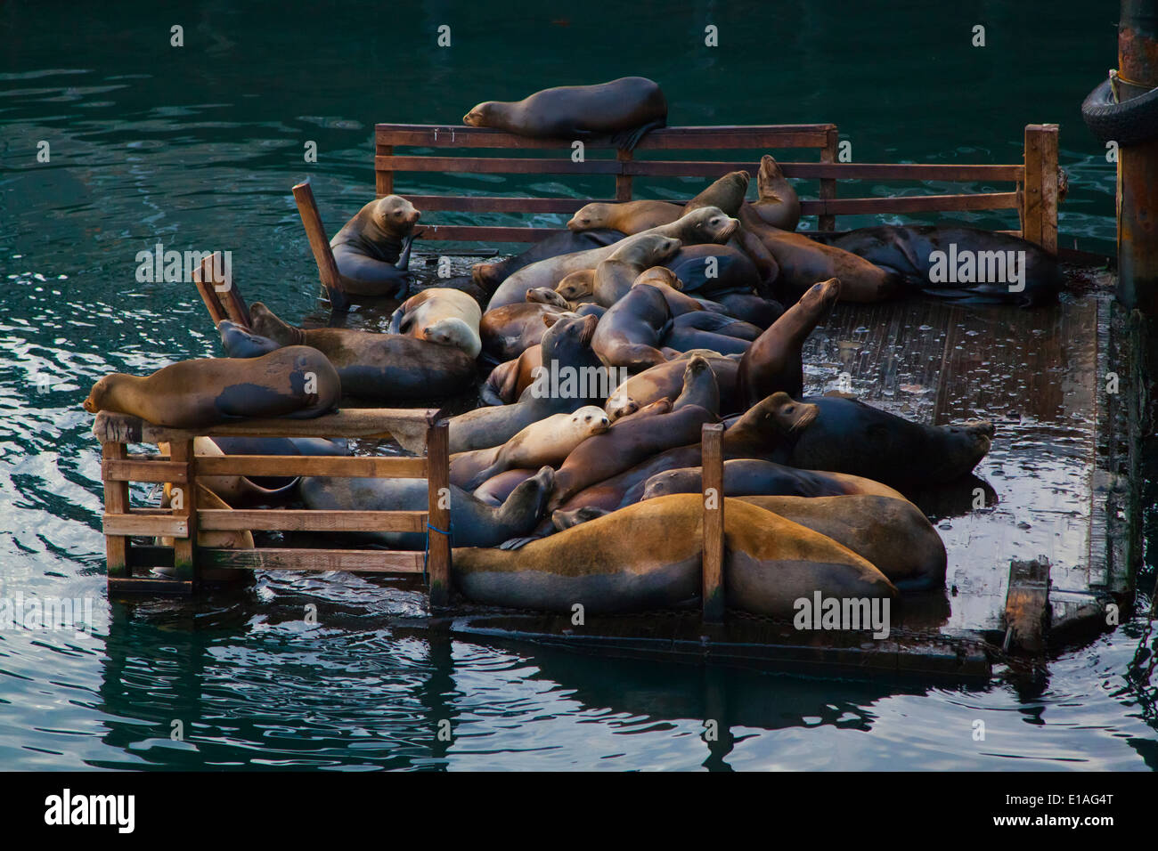 A group of STELLAR SEA LIONS (Eumetopias jubatus) rests on a platform at FISHERMANS WHARF - MONTEREY, CALIFORNIA - Stock Image