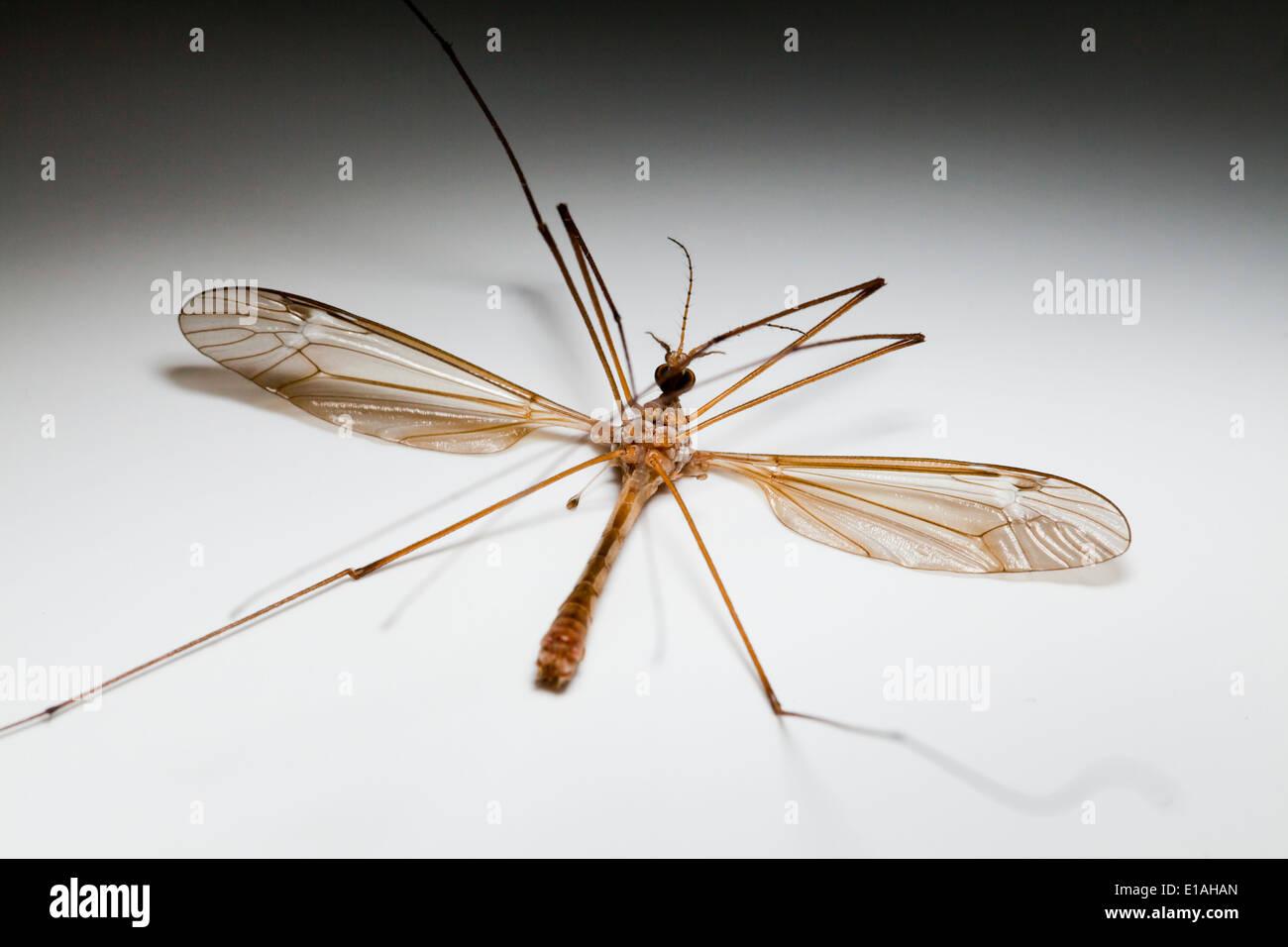 Dead crane fly (Diptera tipulidae) Stock Photo