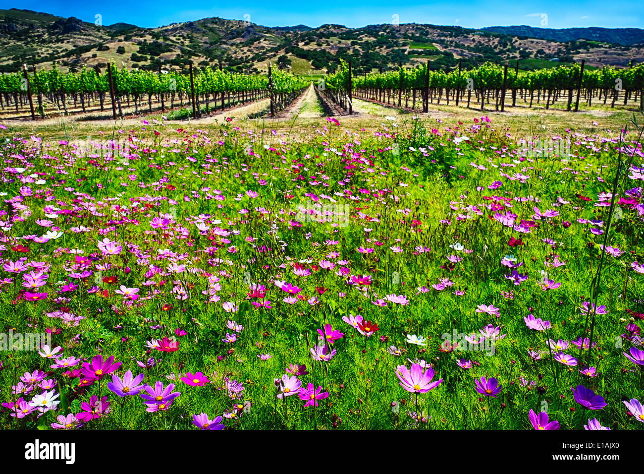 Low Angle View of Spring Wildflowers and Row of Grapevines, Napa Valley, California - Stock Image