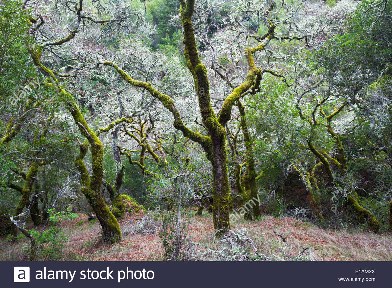 Mossy Trees, Cascade Canyon Open Space Preserve, California - Stock Image
