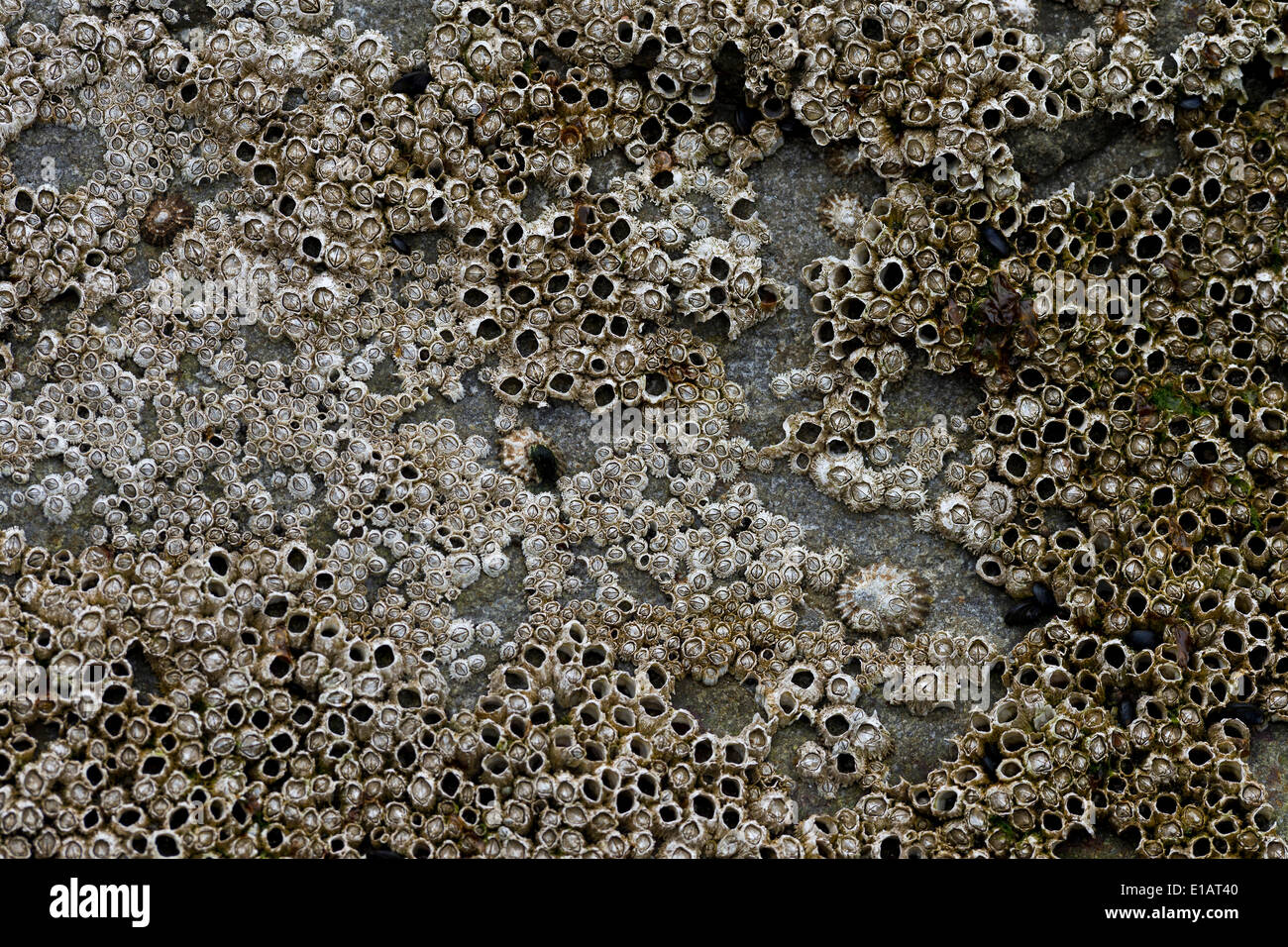 Barnacles (Balanidae) and limpets (Patellidae) in the surf zone on a rock, Faroe Islands, Denmark Stock Photo