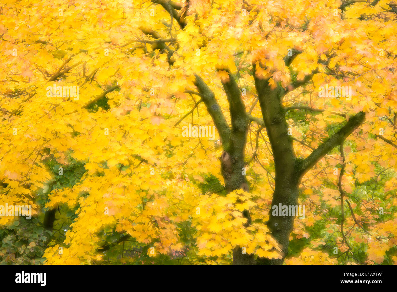 maple (acer) in autumn, lower saxony, germany - Stock Image