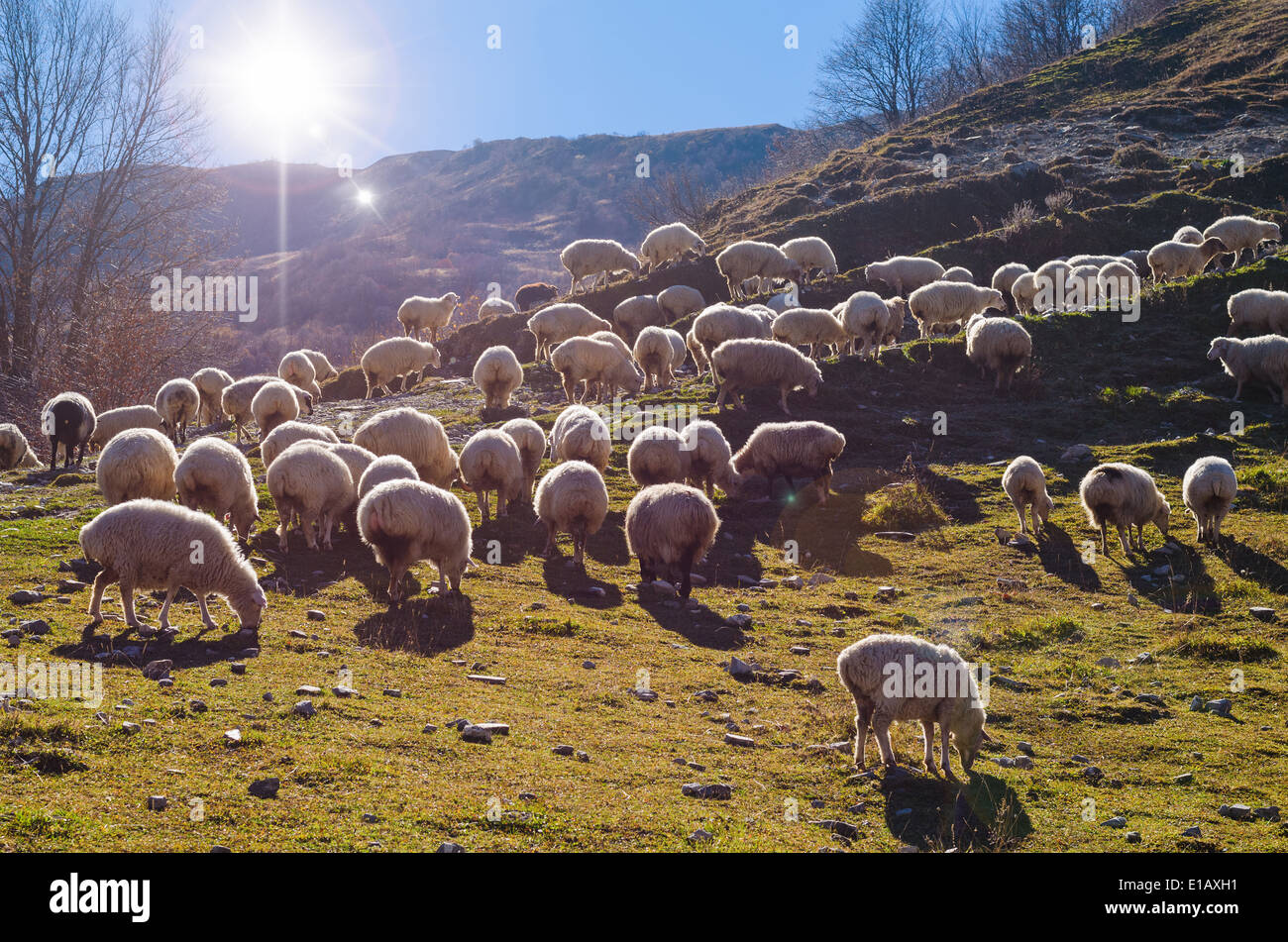 Herd of Sheep Grazing on Mountain Meadow in the rocky mountains Georgia. Caucasus - Stock Image