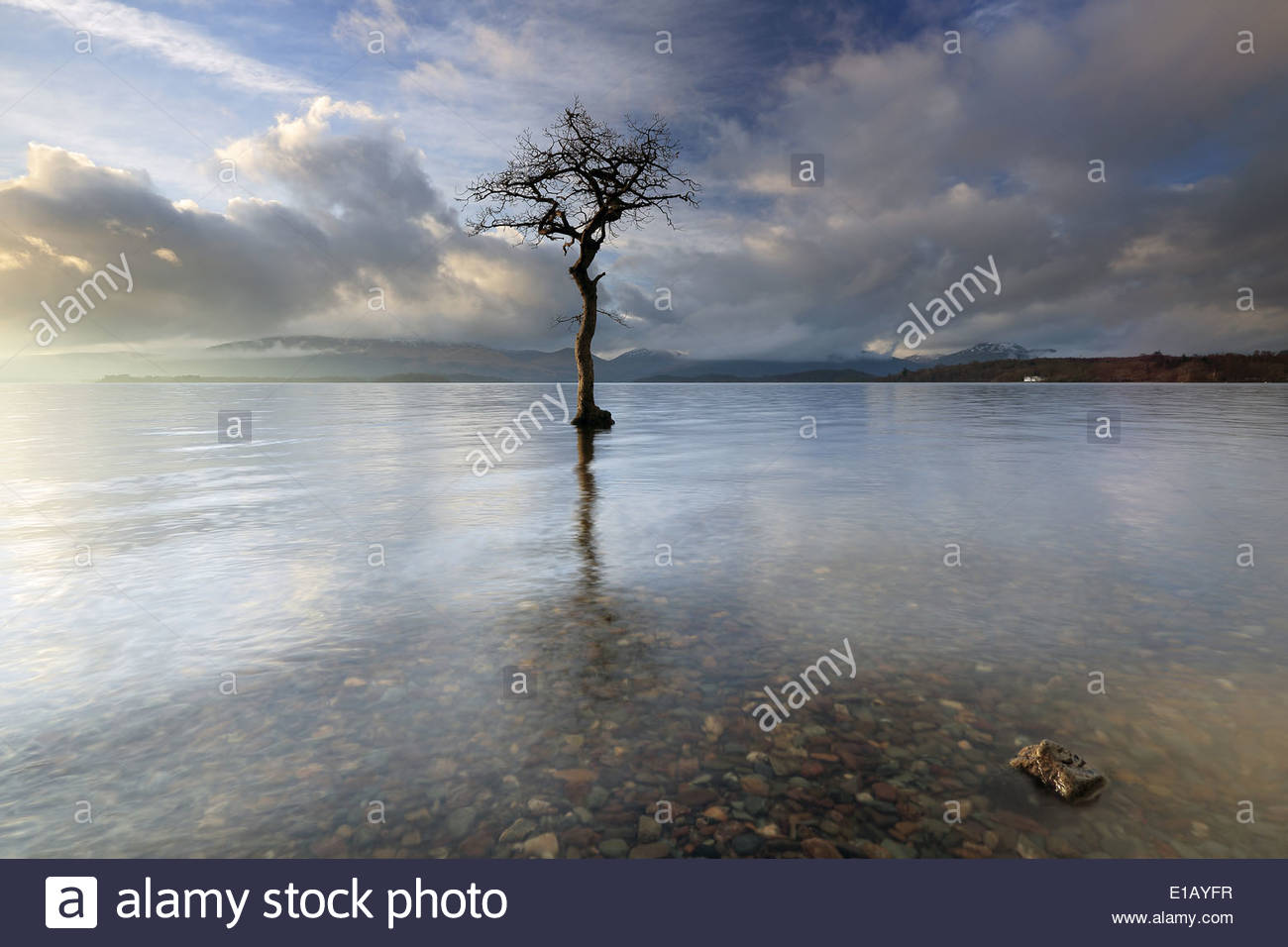 Lone tree in water - Stock Image