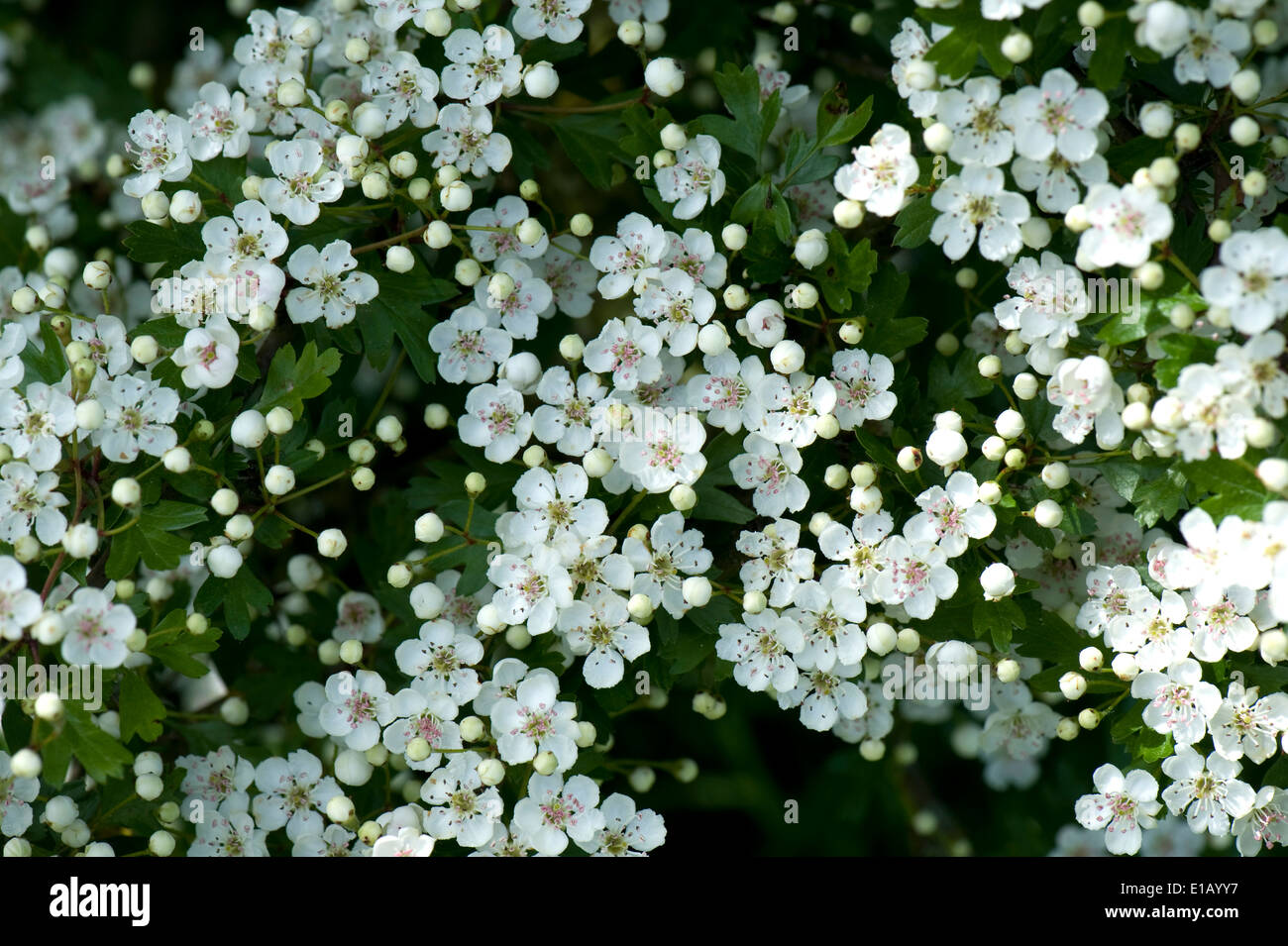 May blossom stock photos may blossom stock images alamy hawthorn or may blossom crataegus monogyna prolific white flowers on a native hedgerow plant mightylinksfo Choice Image